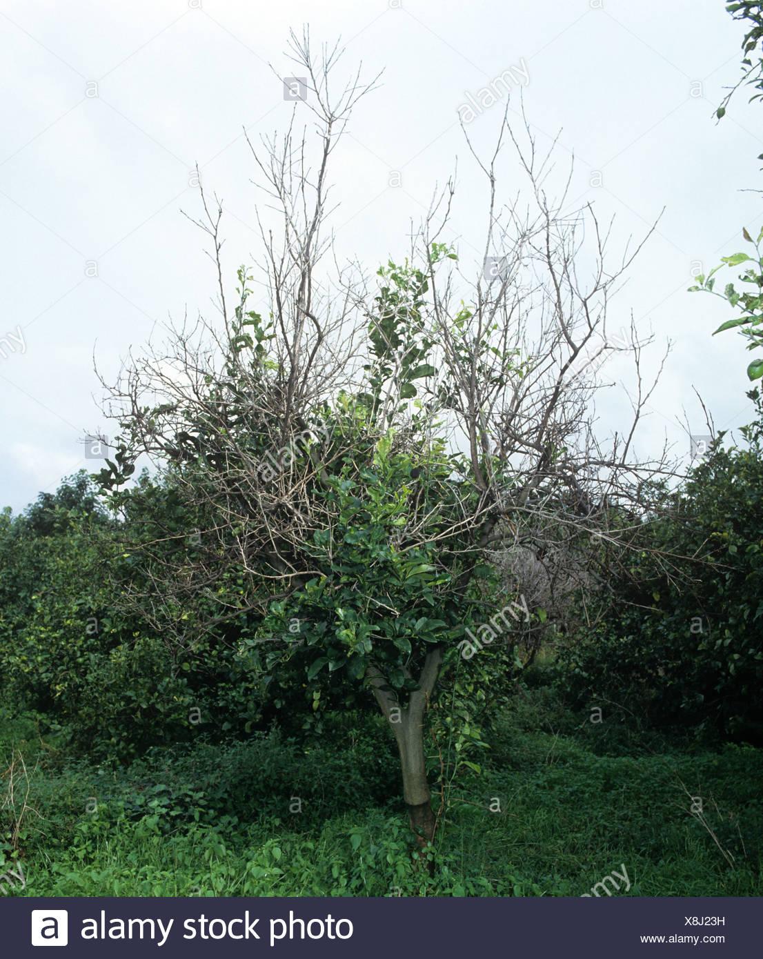 Phoma tracheiphila mal secco et malades mourir lemon tree Photo Stock