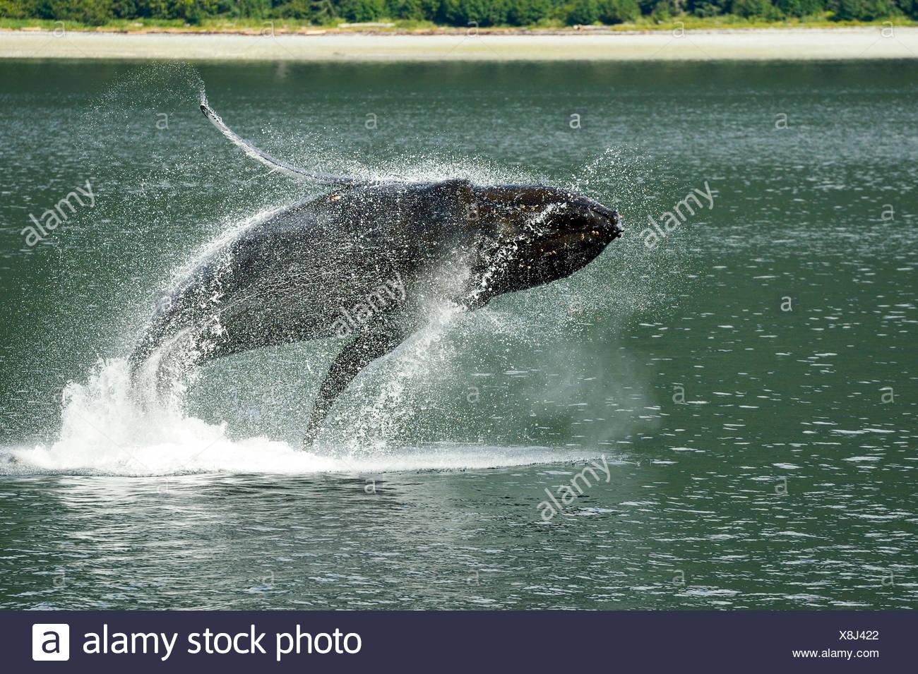 Avec la grâce d'une ballerine aquatiques, une violation des baleines à bosse dans les eaux de l'Alaska's Inside Passage. Photo Stock