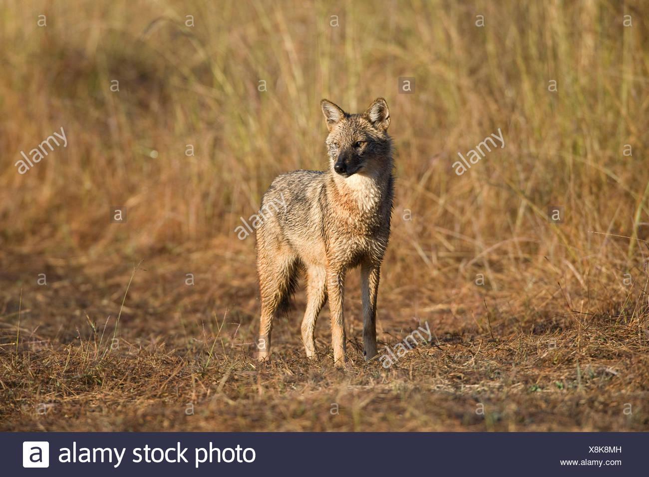 Le chacal doré, Canis aureus, debout dans l'herbe haute, la Réserve de tigres de Kanha, Parc National, Madhya Pradesh, Inde Banque D'Images