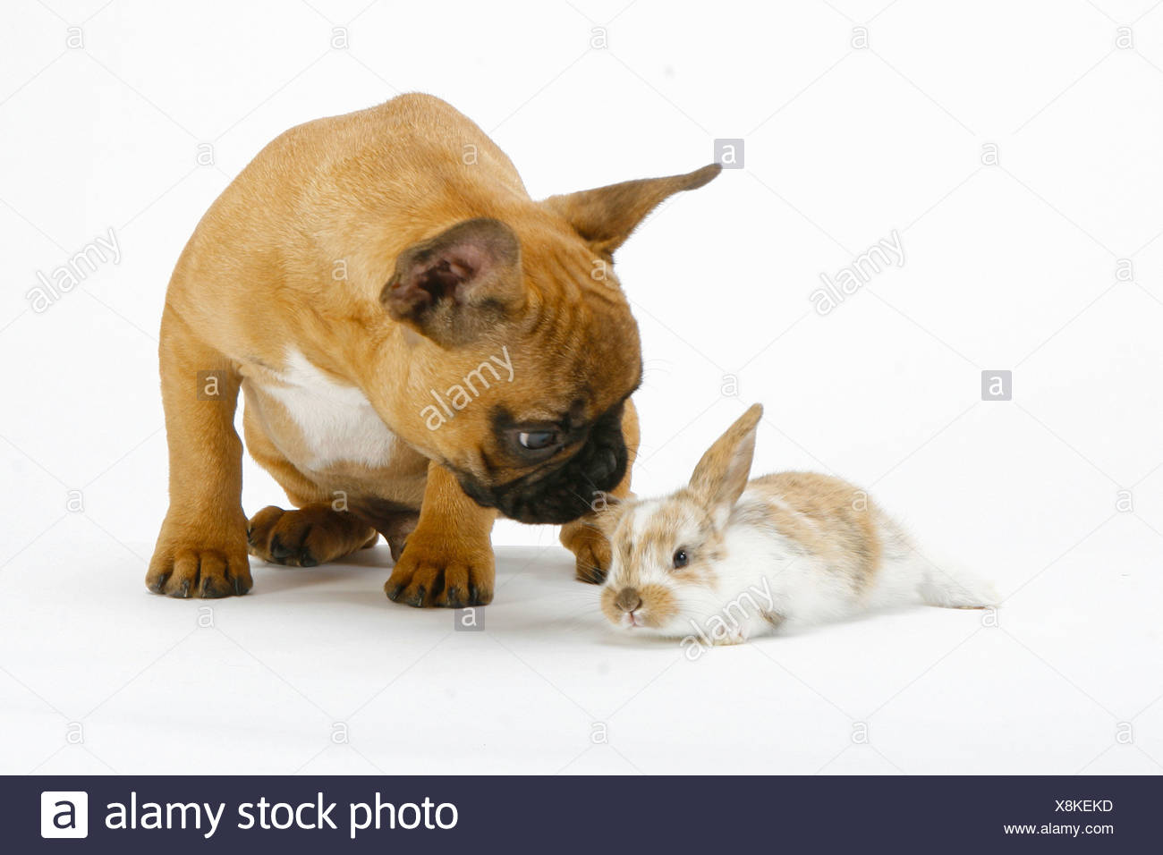 9e169f84bb2e French Rabbits Photos   French Rabbits Images - Alamy