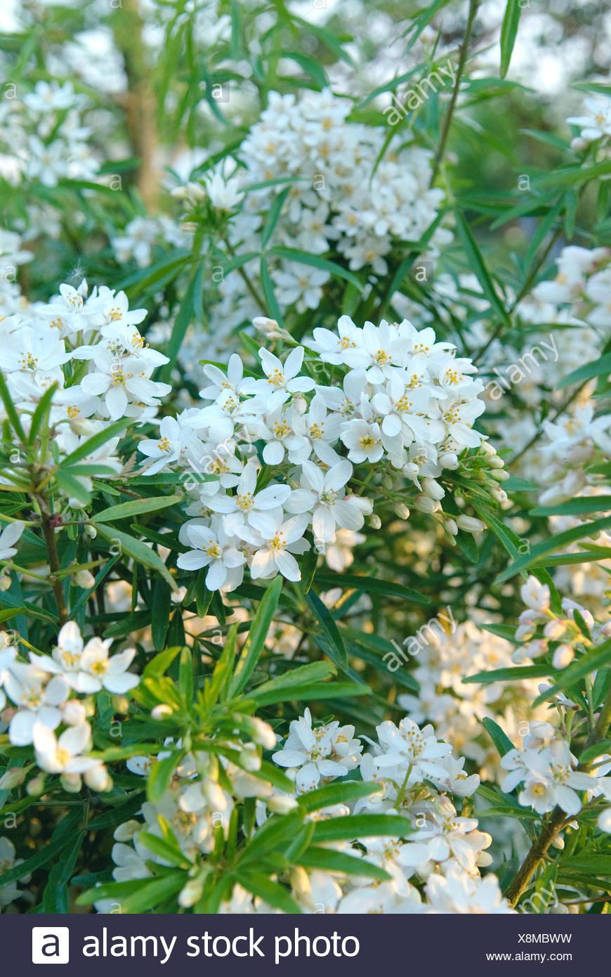 Oranger du Mexique (Choisya ternata 'Actec Pearl', Choisya ternata Actec Pearl, Pearl, Actec cultivar blooming Photo Stock