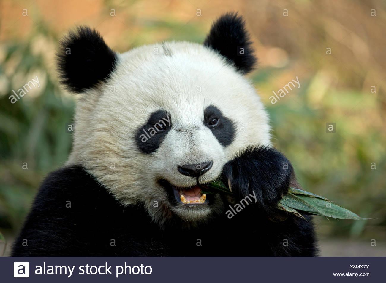 Panda géant (Ailuropoda melanoleuca) sous des profils d'alimentation. Bifengxia, Chine. En captivité. Photo Stock