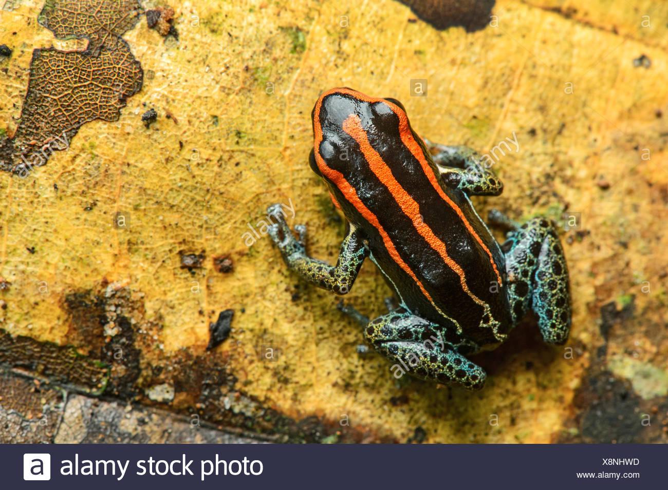 Grenouille poison sanguin ou le poison frog (Zaparas Allobates zaparas), Amazon rainforest, Parc national Yasuni, en Equateur Banque D'Images