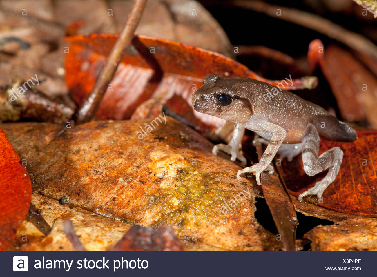 Photo d'une grenouille litière montagnarde métamorphoses juste Photo Stock