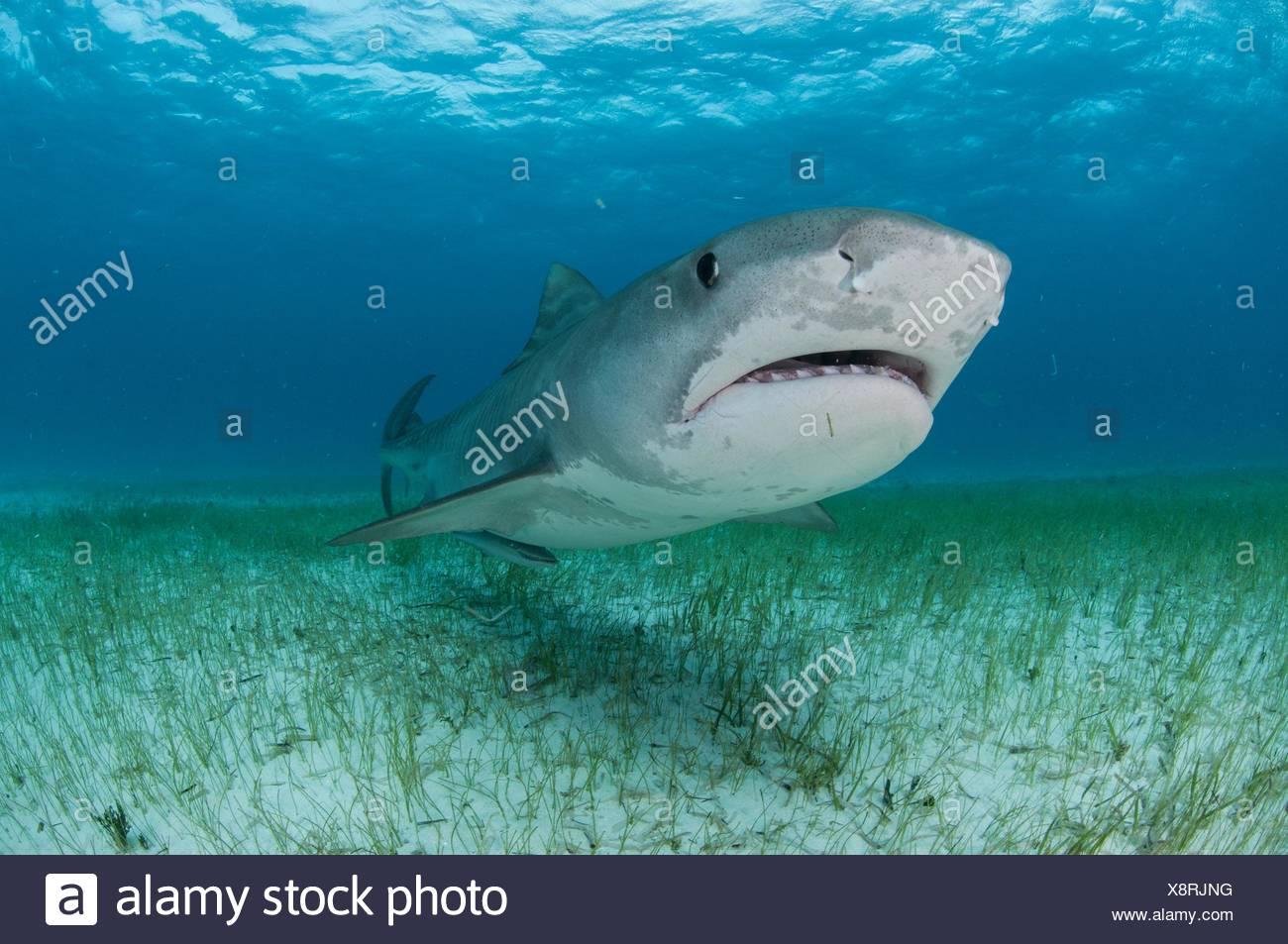 Low angle sous-vue de requin tigre nager près des fonds marins couverts d'herbes marines, plage du Tigre, Bahamas Photo Stock