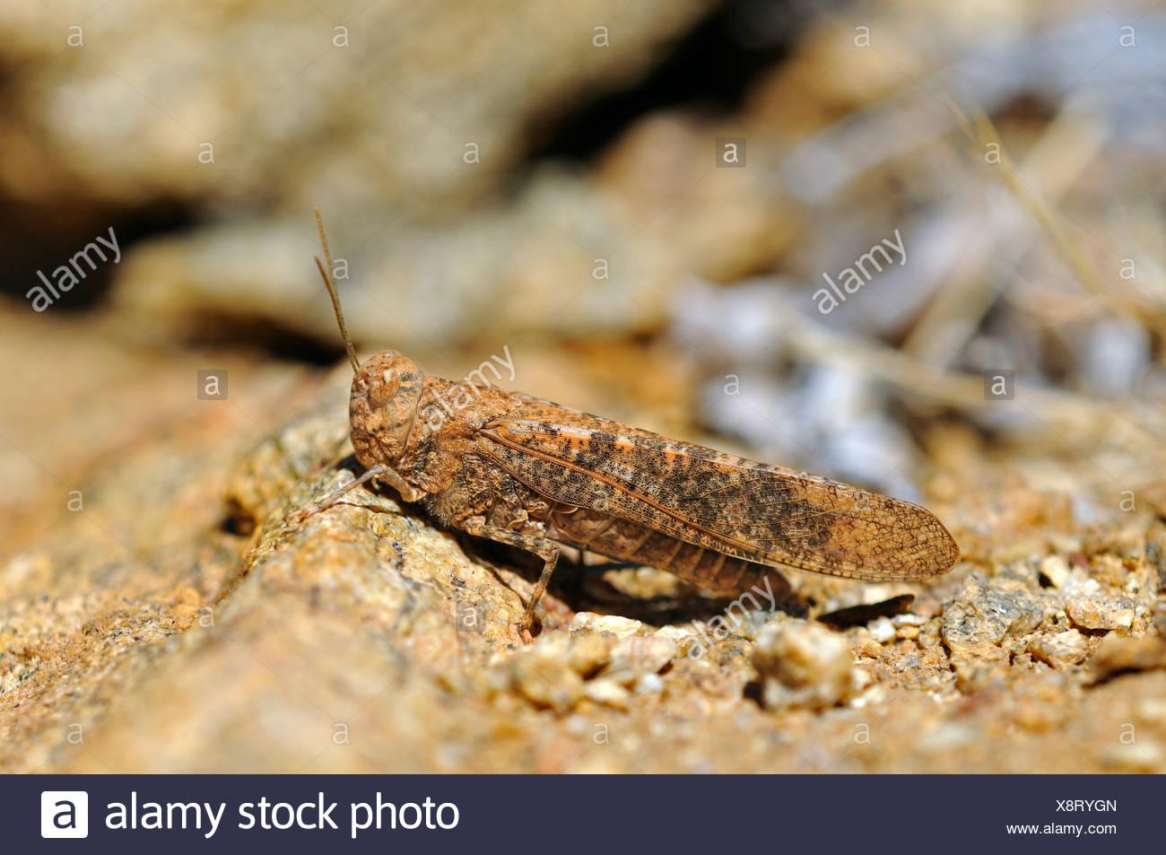 Sauterelle (Conistica Rock saucia) en parfait camouflage pour la couleur du terrain rocheux entourant la réserve naturelle, Photo Stock