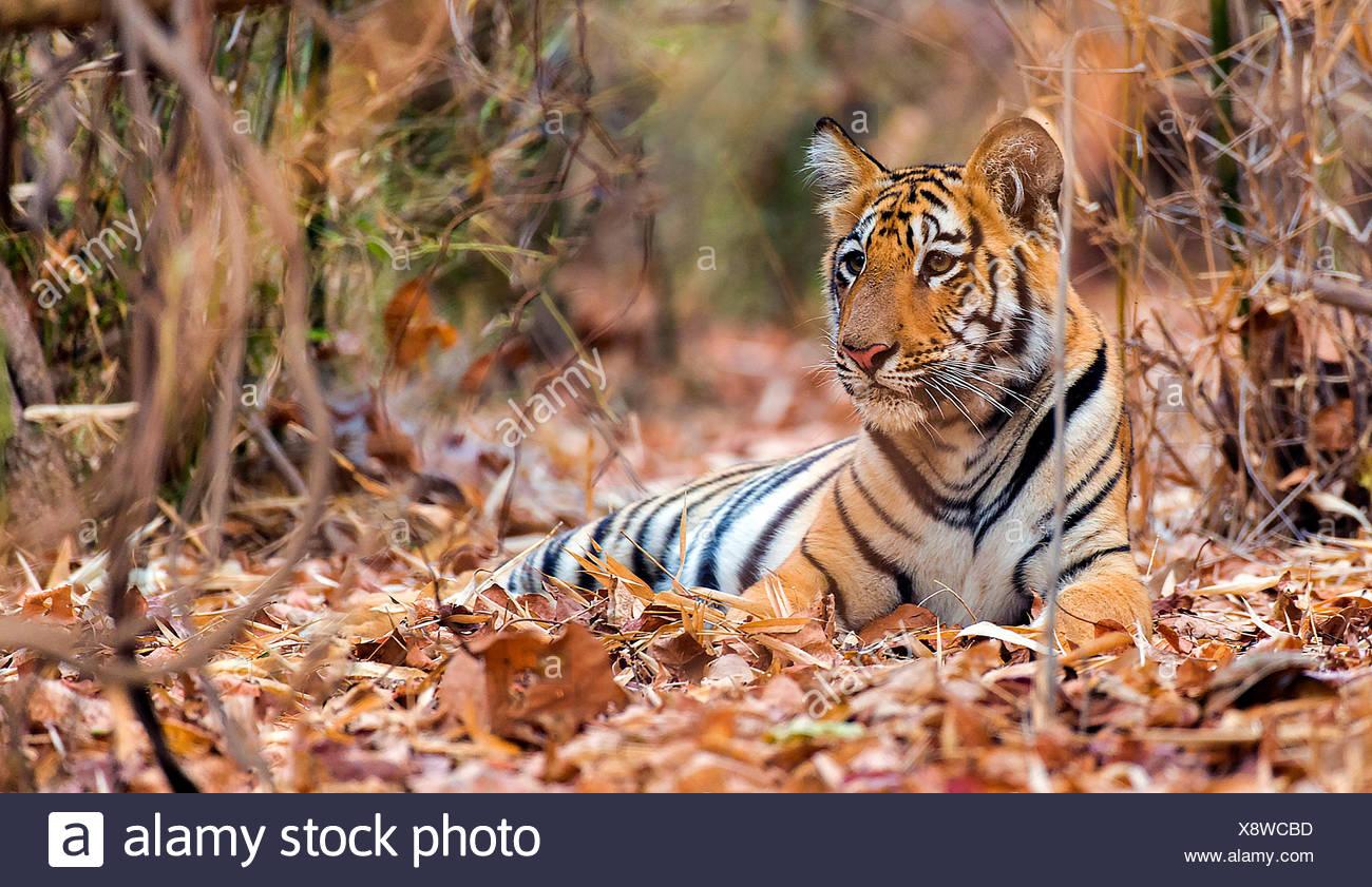 Koenigstiger, Indischer Tiger, Bengaltiger (Panthera tigris tigris), Tigerjunges schließen im Wald, Indien, le parc national de Tadoba | Photo Stock