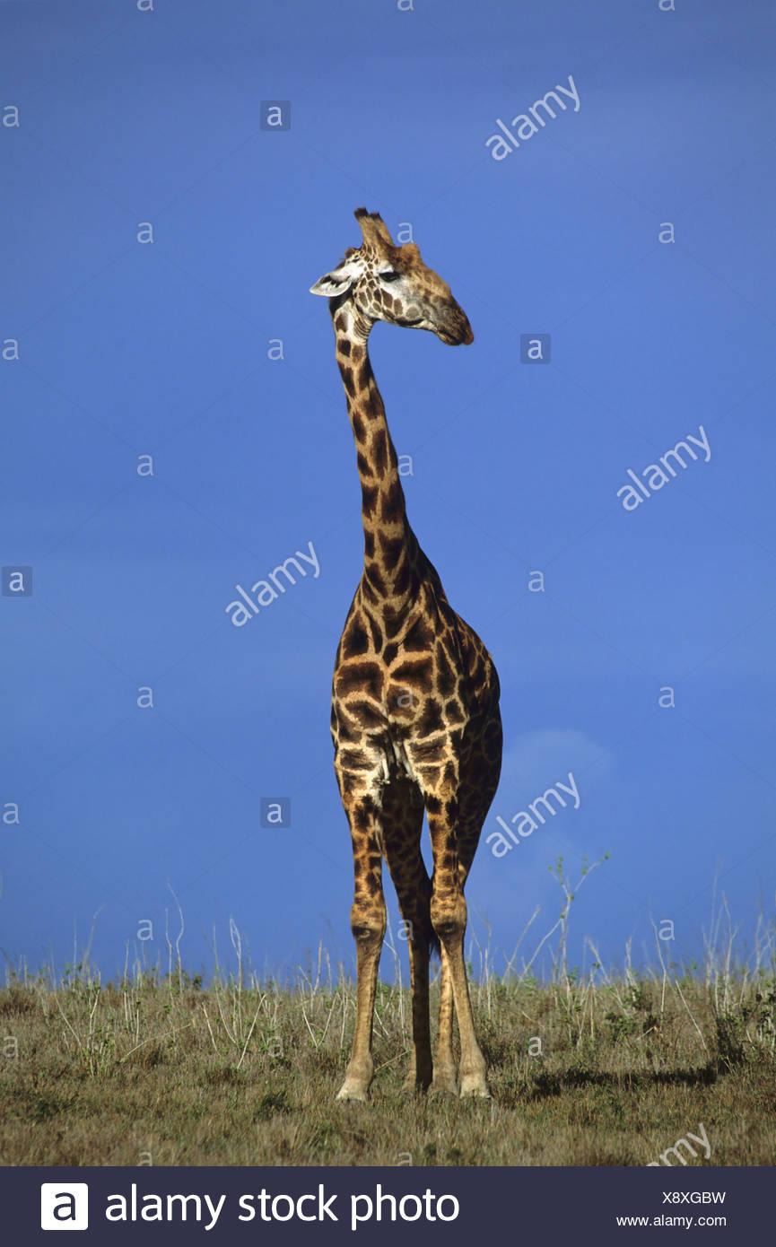Le Masai Giraffe Giraffa camelopardalis NP Nairobi Kenya Afrique Photo Stock