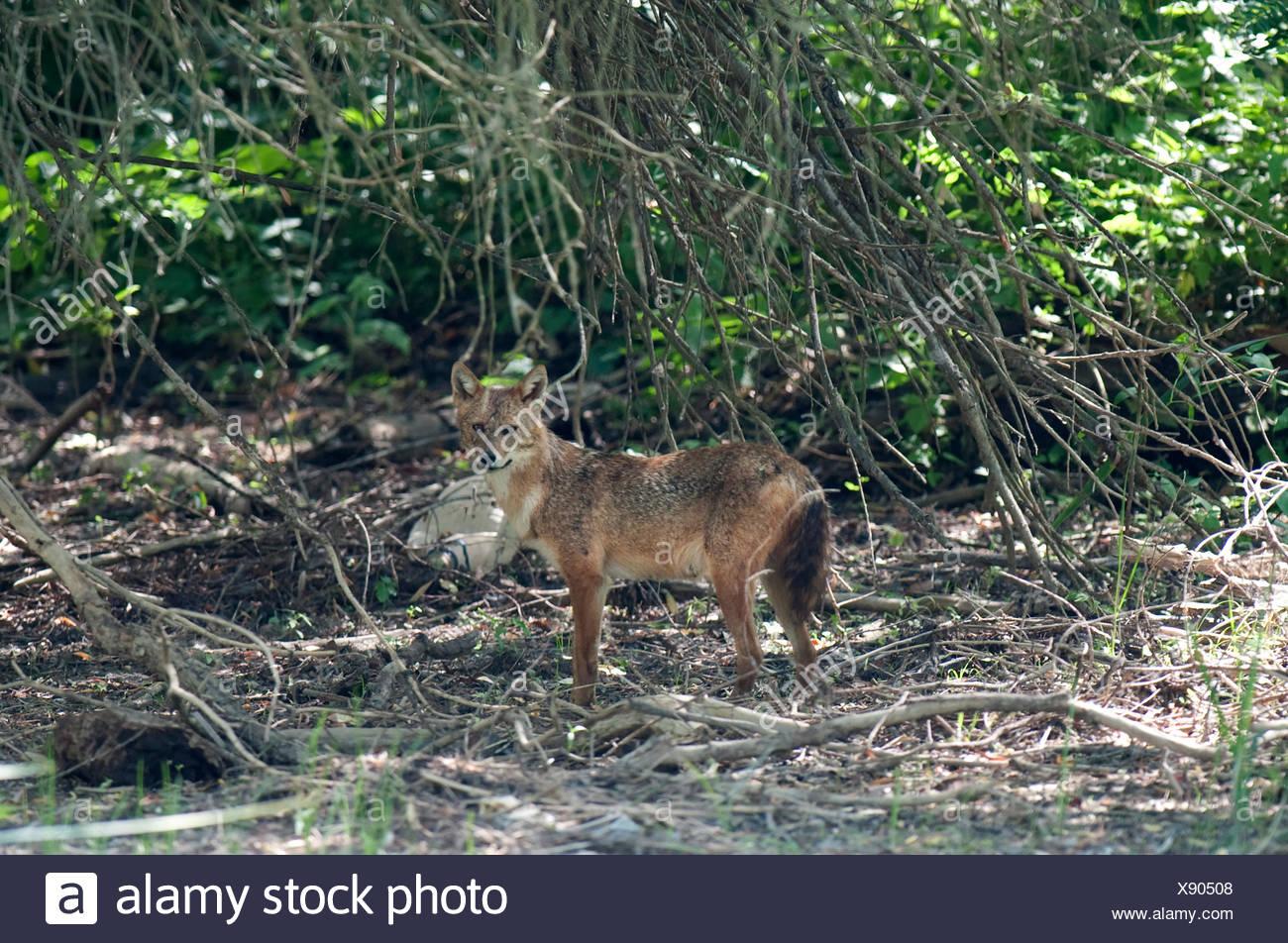 Chacal européen, Canis aureus moreoticus, Delta du Danube, Roumanie, caucasien jackal ou reed le loup, sous-espèce de chacal doré originaire d'Europe du Sud-Est Banque D'Images