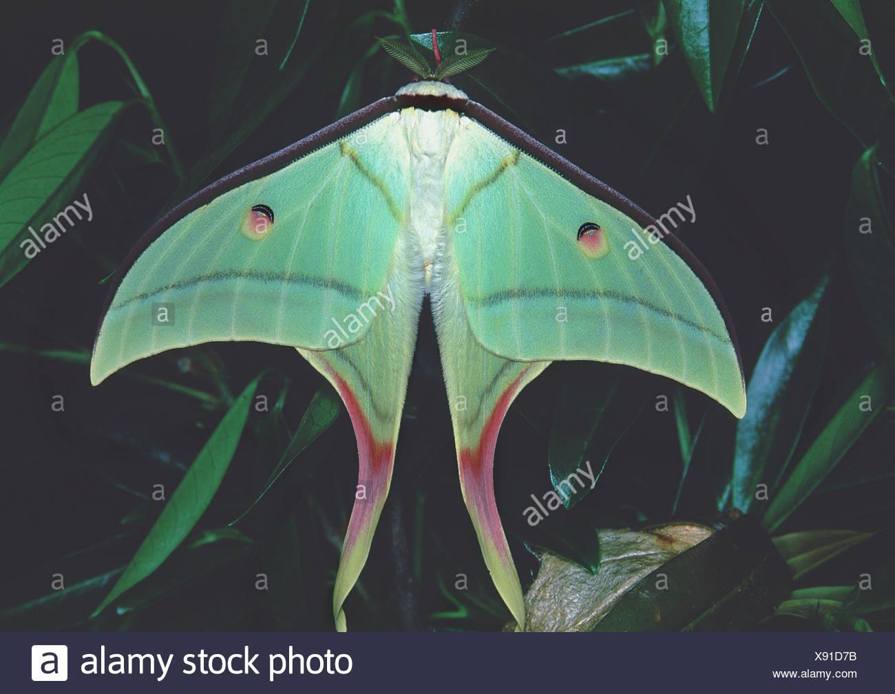 Papillon de lune indienne (Actias selene), forêt tropicale, l'Inde Banque D'Images