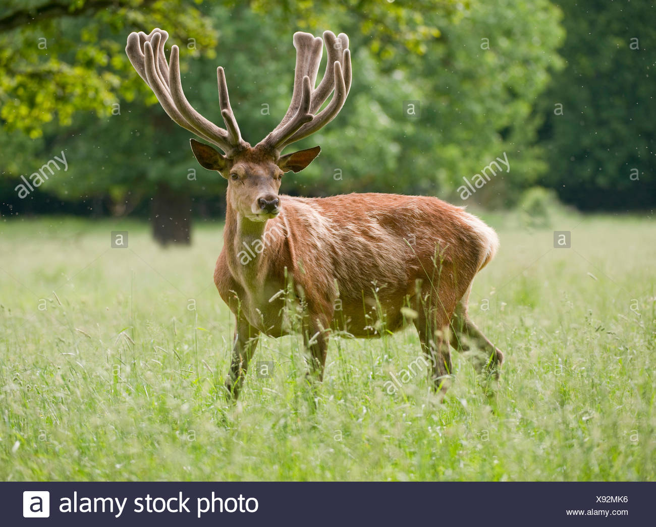Red Deer (Cervus elaphus) avec du bois de velours, captive, Bavière, Allemagne Banque D'Images
