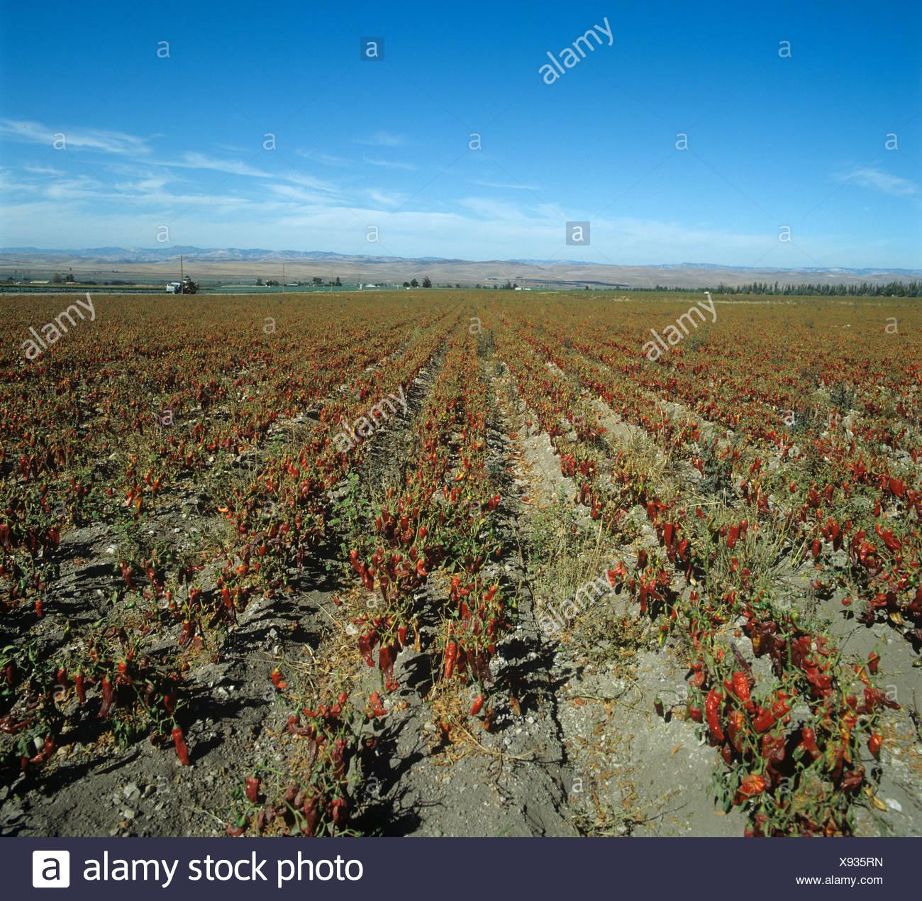 Le poivron dans la récolte des fruits mûrs séchage au soleil California USA Photo Stock