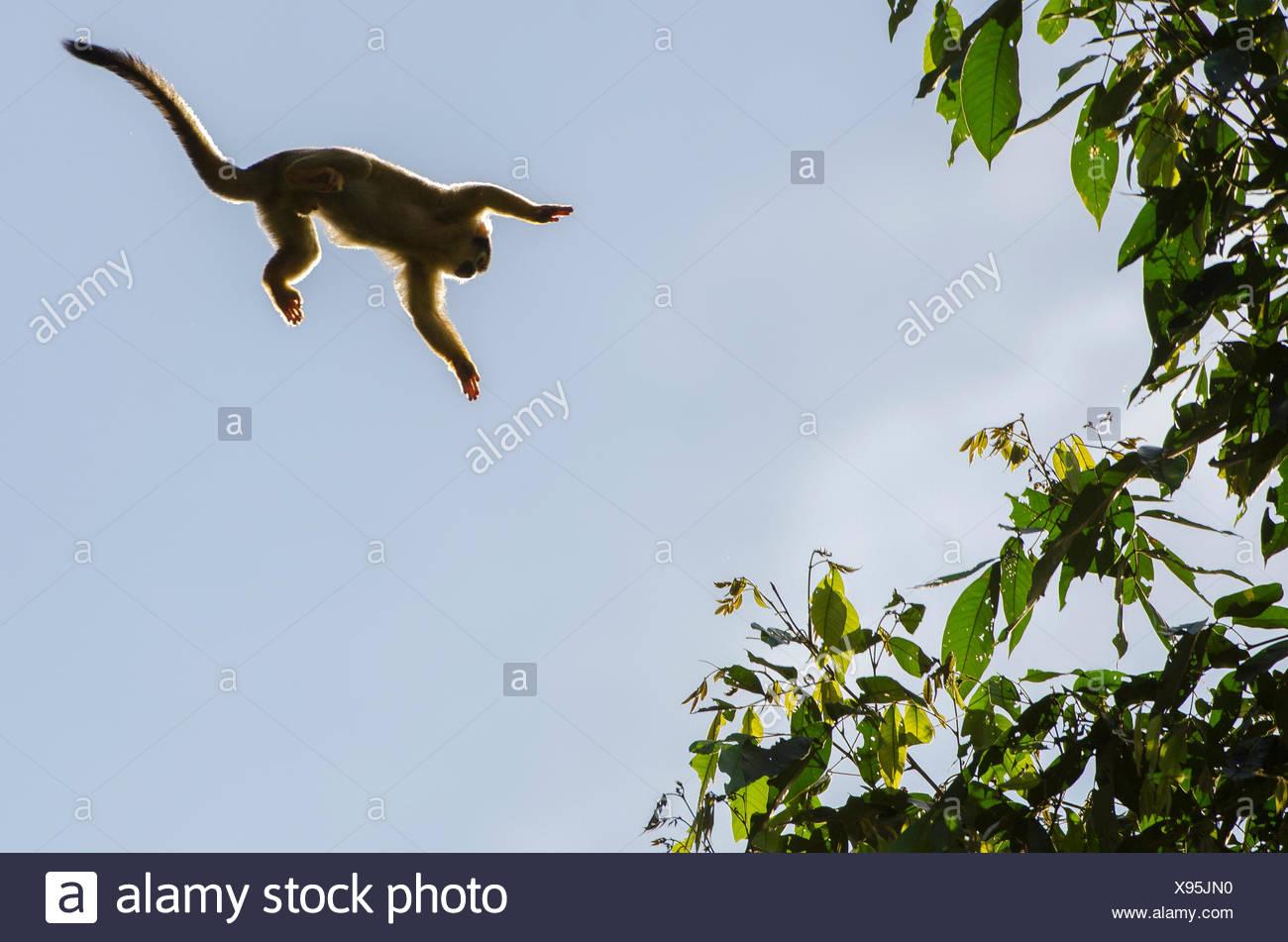 Singe-écureuil, Saimiri scireus, saut. Photo Stock