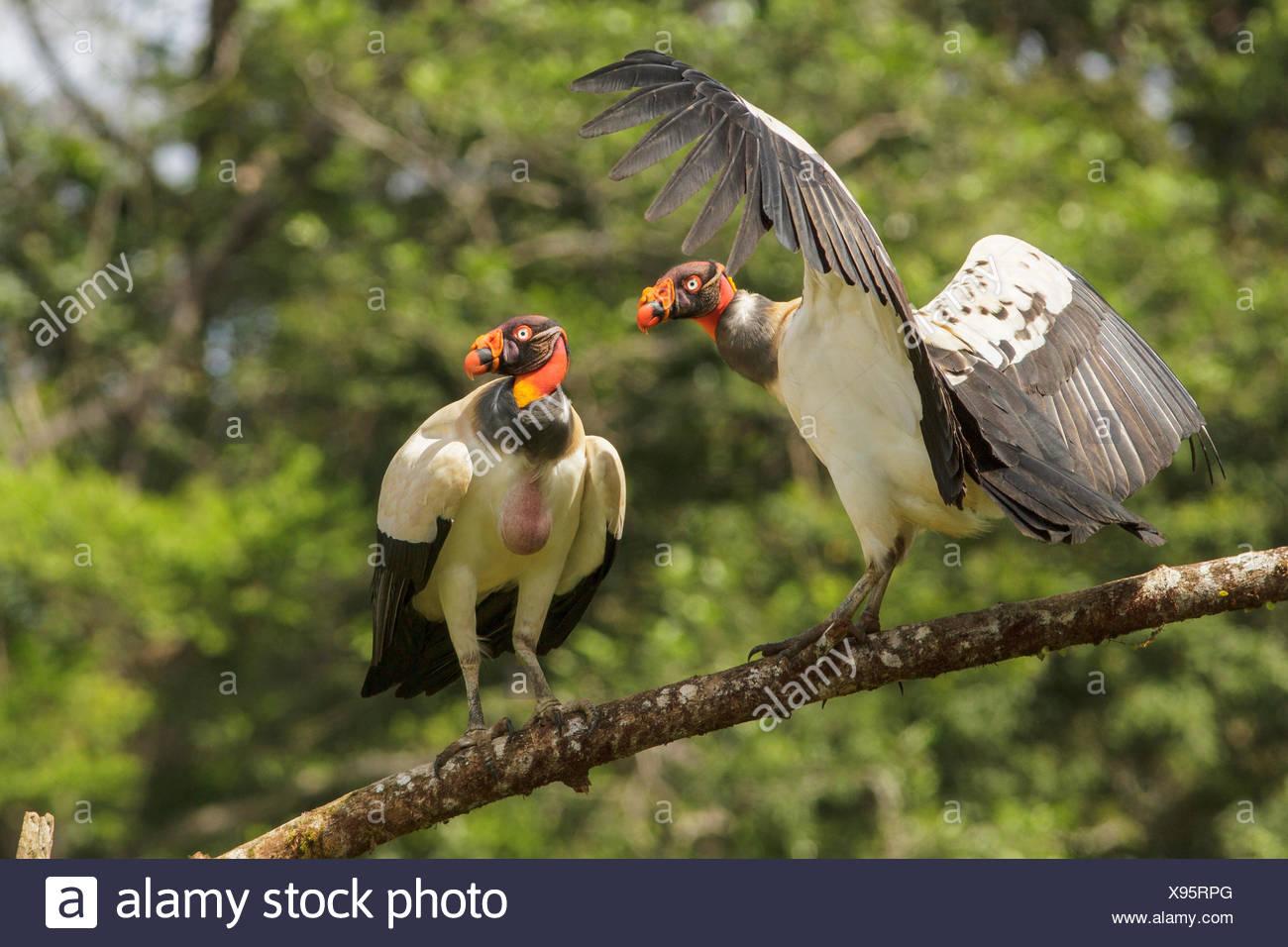 Vautour pape (Sarcoramphus papa) perché sur une branche au Costa Rica. Photo Stock