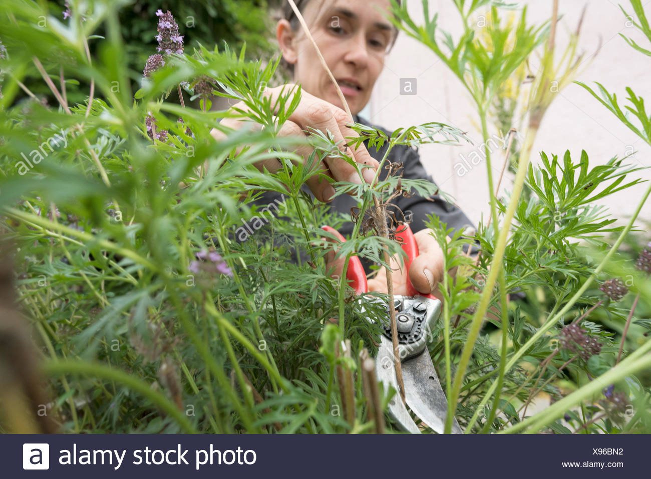 Une femme l'élagage des buissons dans un jardin Photo Stock