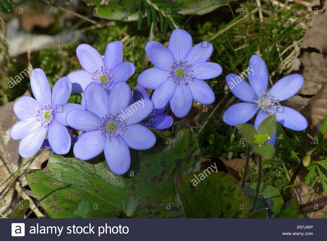 Fleur De Sous Bois Bleue l'hépatique, hepatica nobilis, fleur de 2013, les plantes