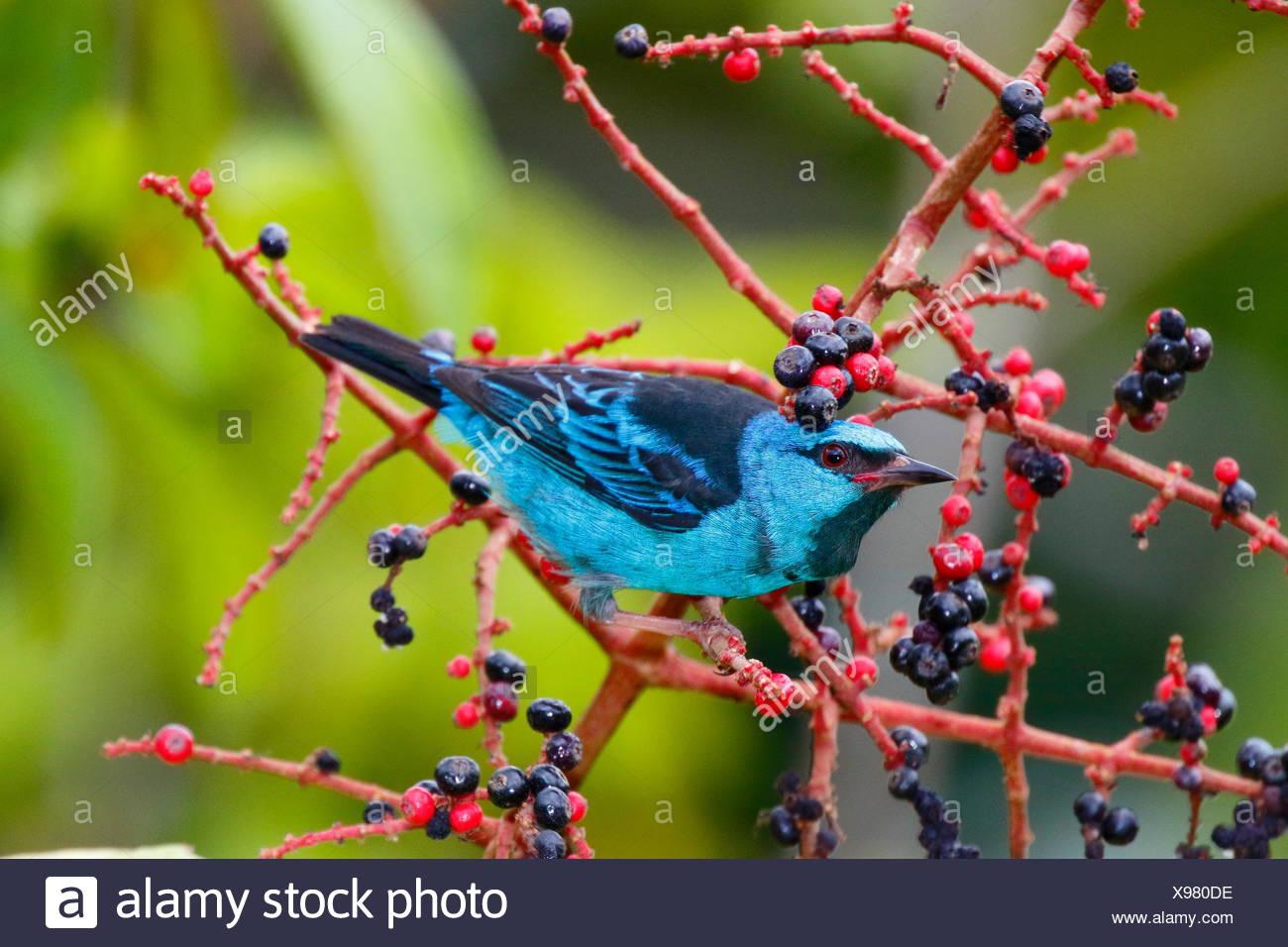 Dacnis bleu ou turquoise, Dacnis cayana honeycreeper, qui se nourrissent de fruits melastome. Photo Stock