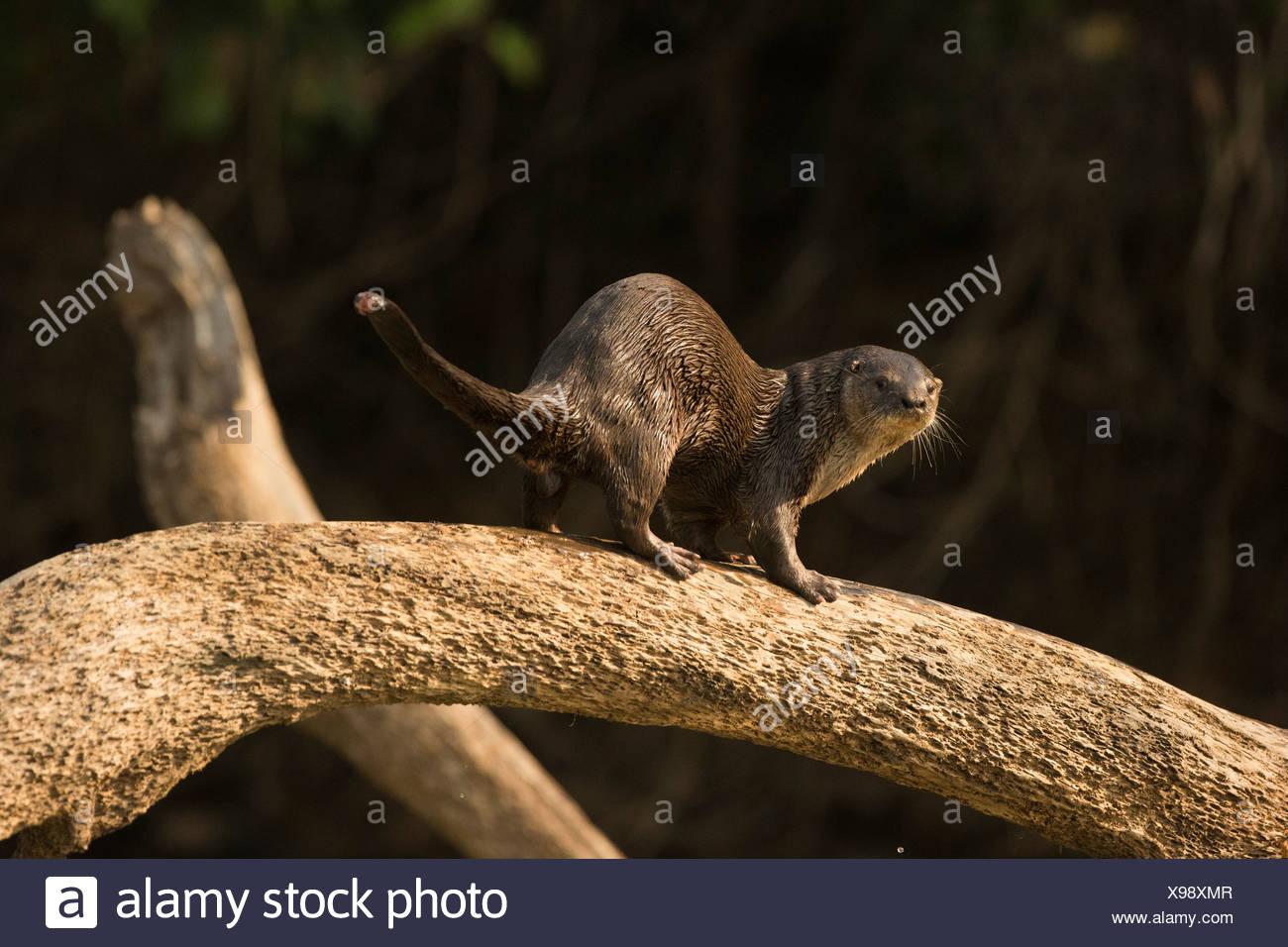 Rivière néotropicale/Otter le long de rivière, Mato Grosso, Pantanal, Brésil, Amérique du Sud (Lontra longicaudis) Banque D'Images
