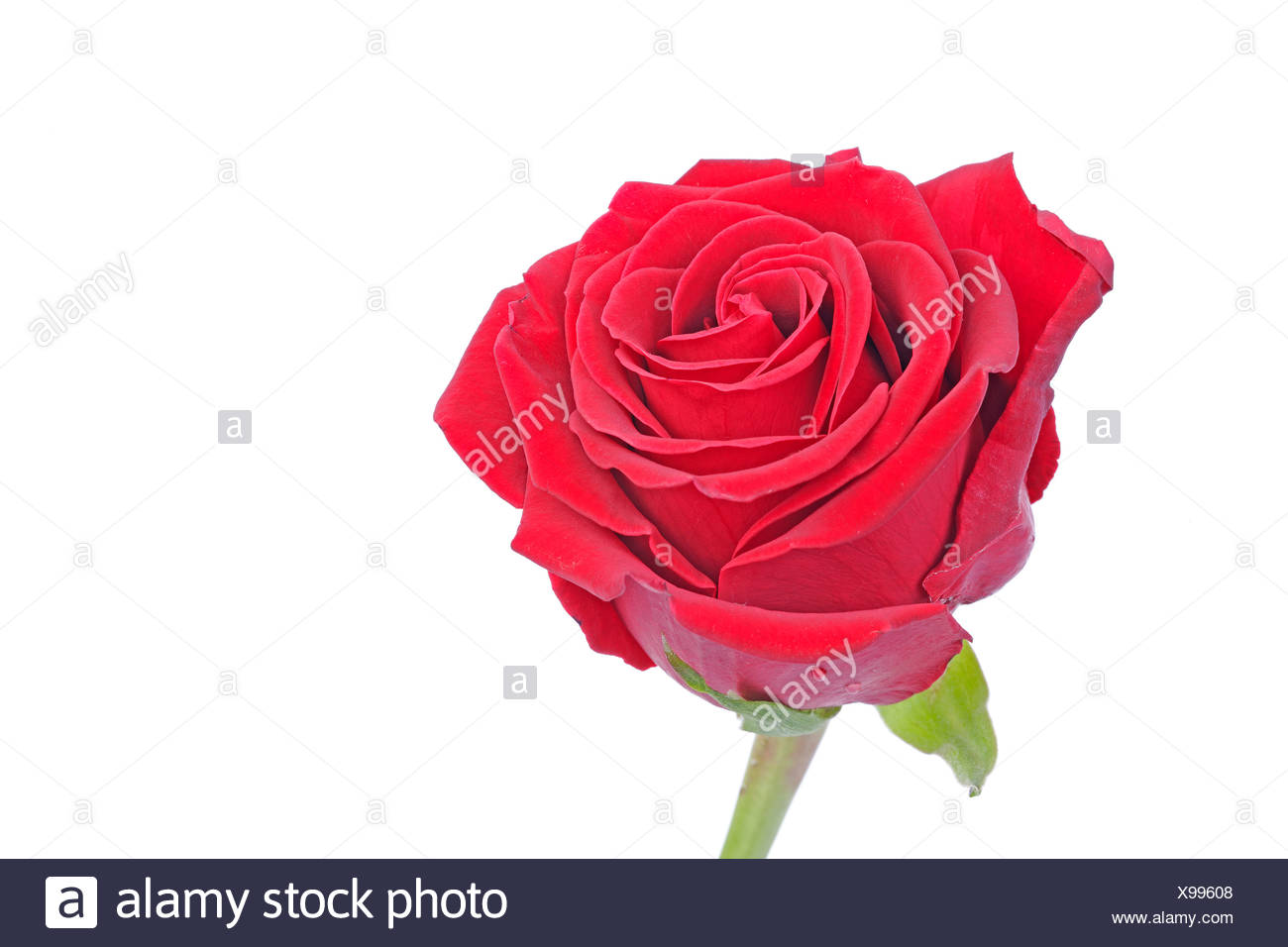 Red Rose (Rosa) Photo Stock