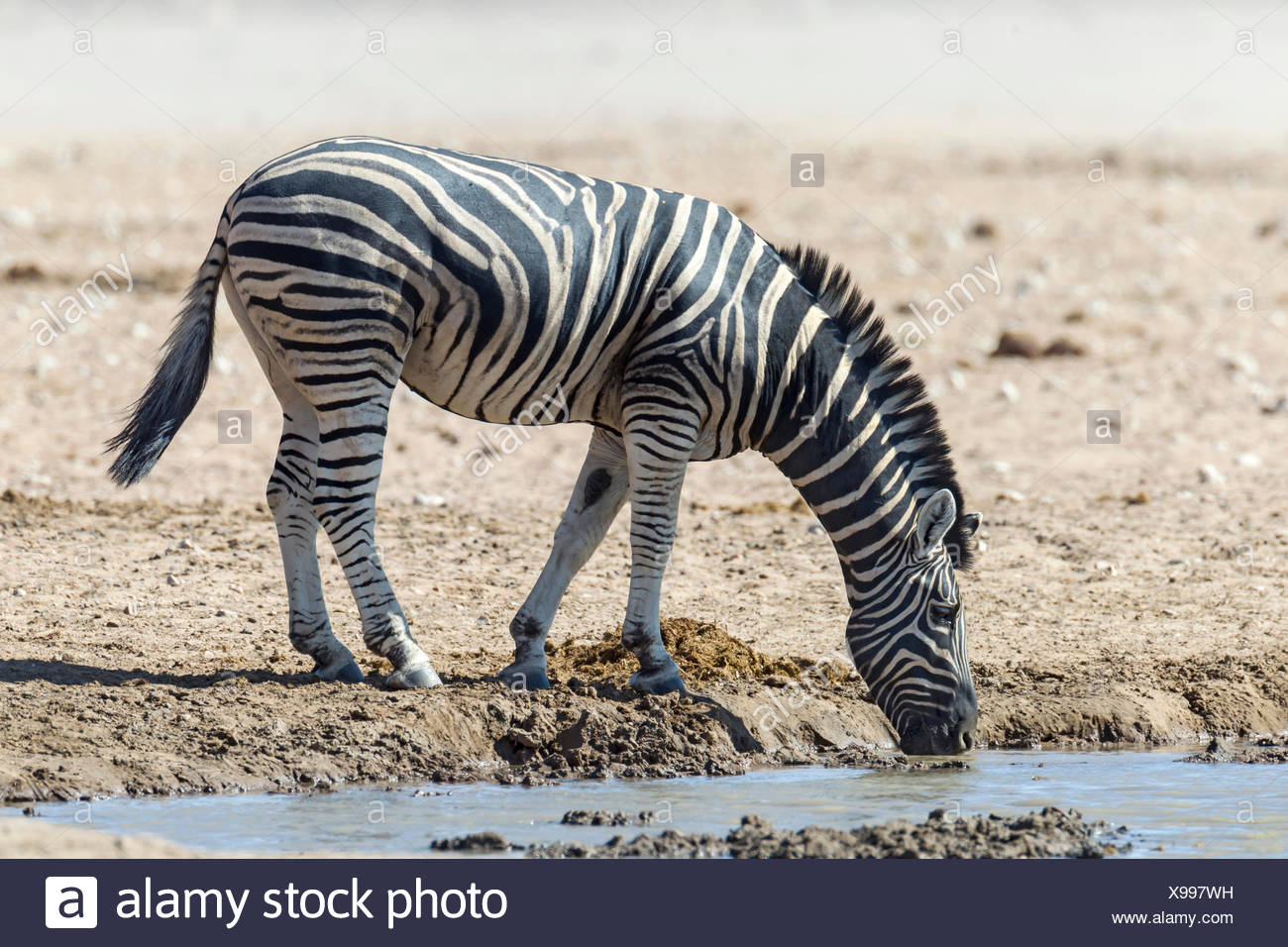 Zèbre des plaines (Equus quagga) au waterhole, Etosha National Park, Namibie Photo Stock