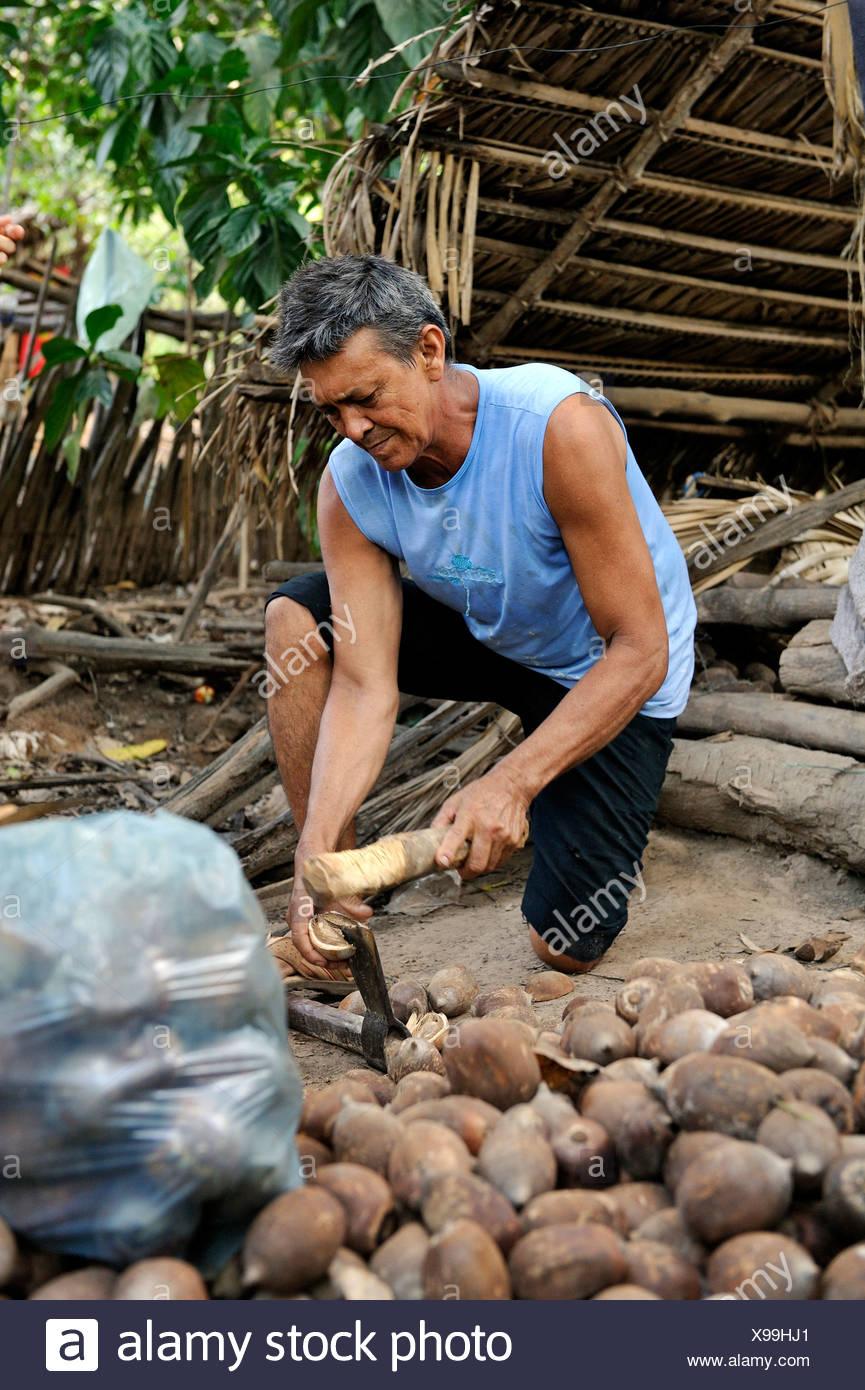 Bassabu fissuration agriculteur écrous, Maranhao, Brésil, Amérique du Sud, Amérique Latine Photo Stock