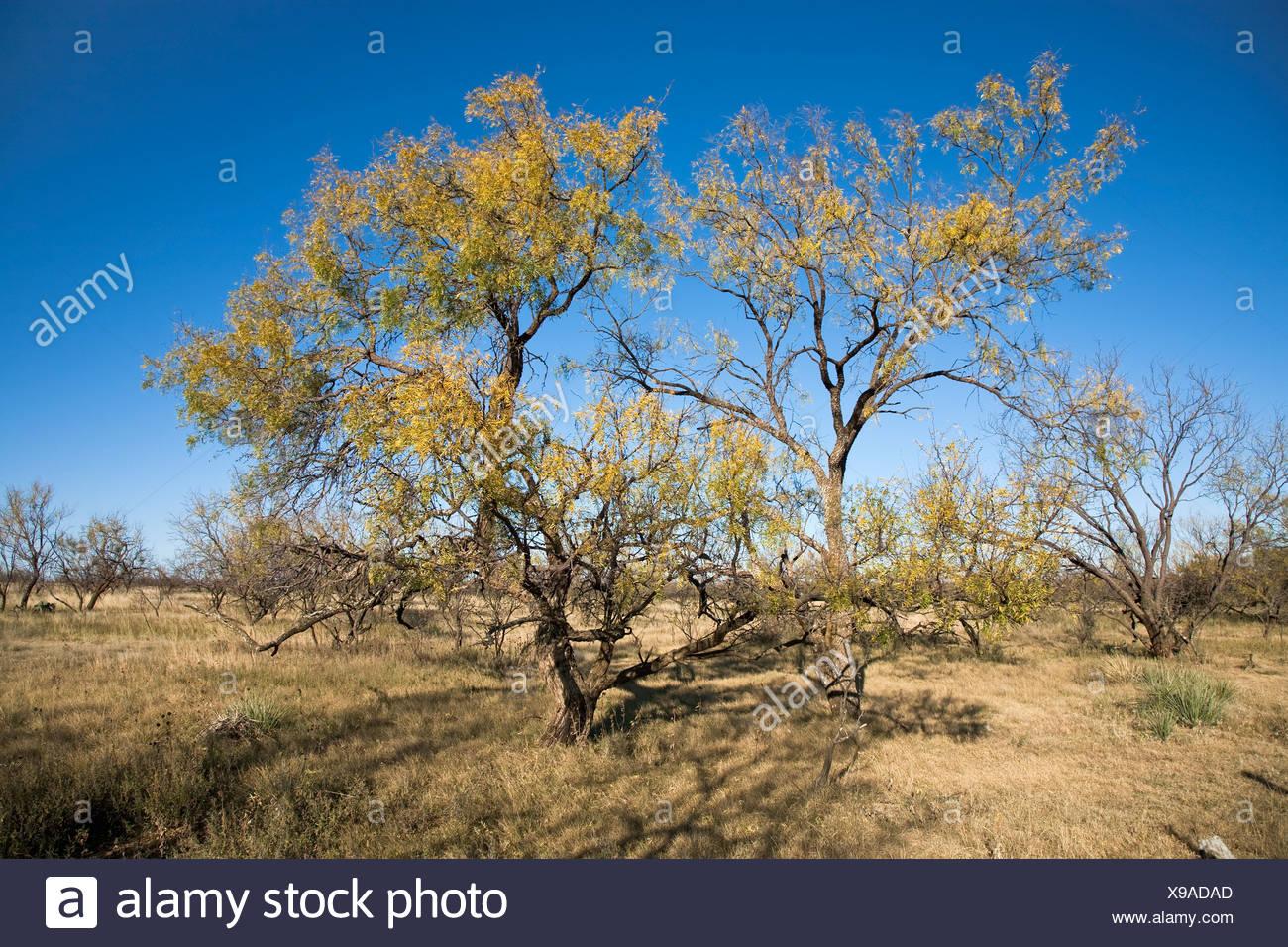 Mesquite plantes, que l'on trouve couramment dans le Texas et le sud-ouest des États-Unis Le bois est utilisé pour le mobilier, le travail du bois et de bois de chauffage/ Texas Banque D'Images