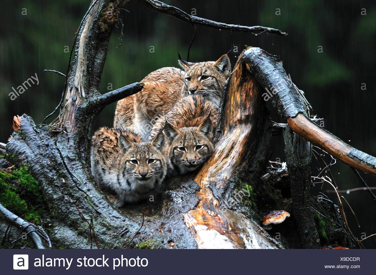 Big cat cat Lynx wildcat chats prédateurs félins des lynx d'animaux à fourrure hiver hiver neige lynx Lynx lynx lynx boréal' Banque D'Images