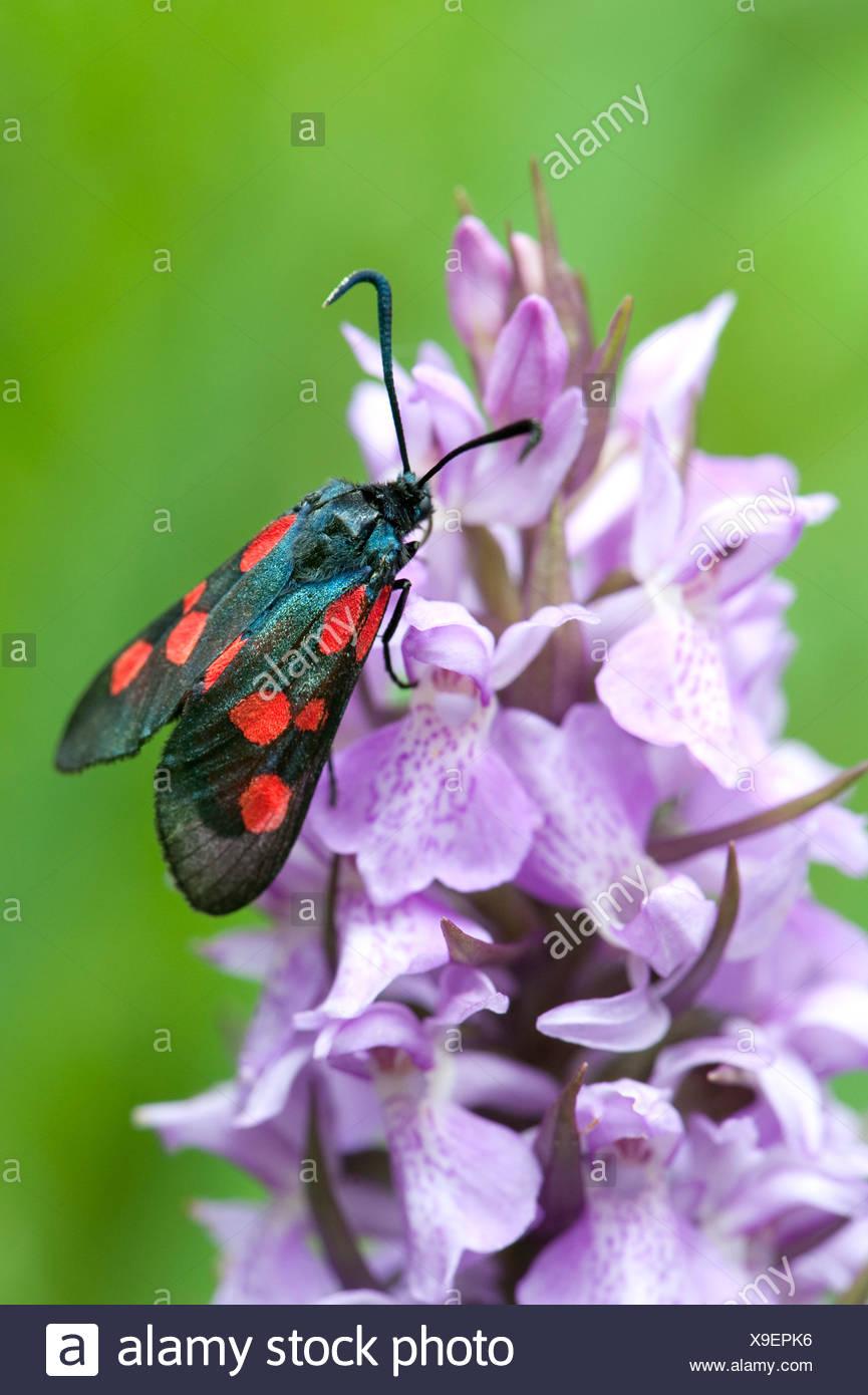 Six-Spot Burnet Moth, Zygaena filipendulae, la baie de Sandwich, Kent, UK Banque D'Images