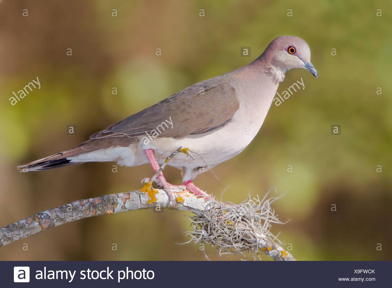 À pointe blanche colombe (Leptotila verreauxi) perché sur une branche dans la vallée du Rio Grande du Texas, USA Photo Stock