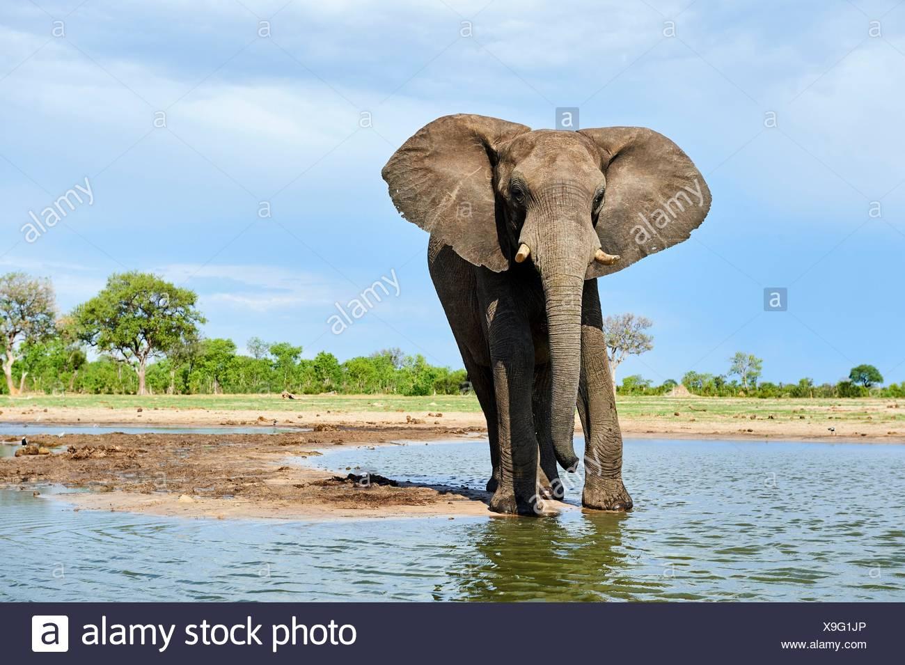 L'éléphant africain (Loxodonta africana) de l'alcool à un watehole. Le parc national de Hwange, Zimbabwe. Photo Stock
