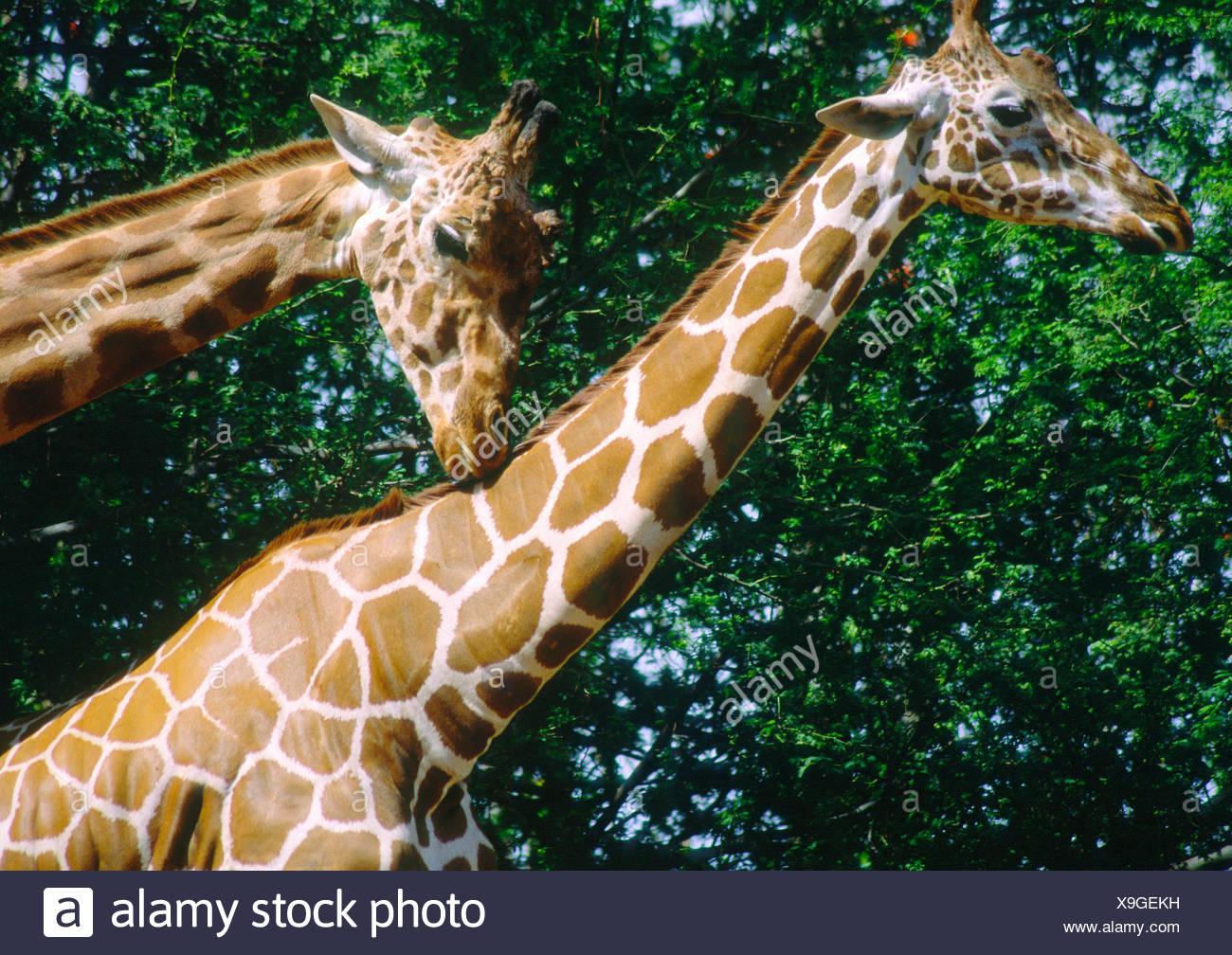 Les Girafes (Giraffa camelopardalis) Banque D'Images