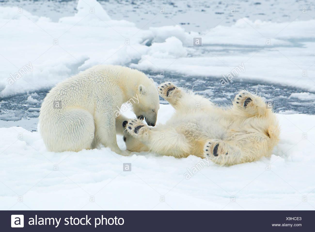 Femelle adulte l'ours blanc (Ursus maritimus) d'interagir sur la glace de mer, l'archipel de Svalbard, Norvège Photo Stock