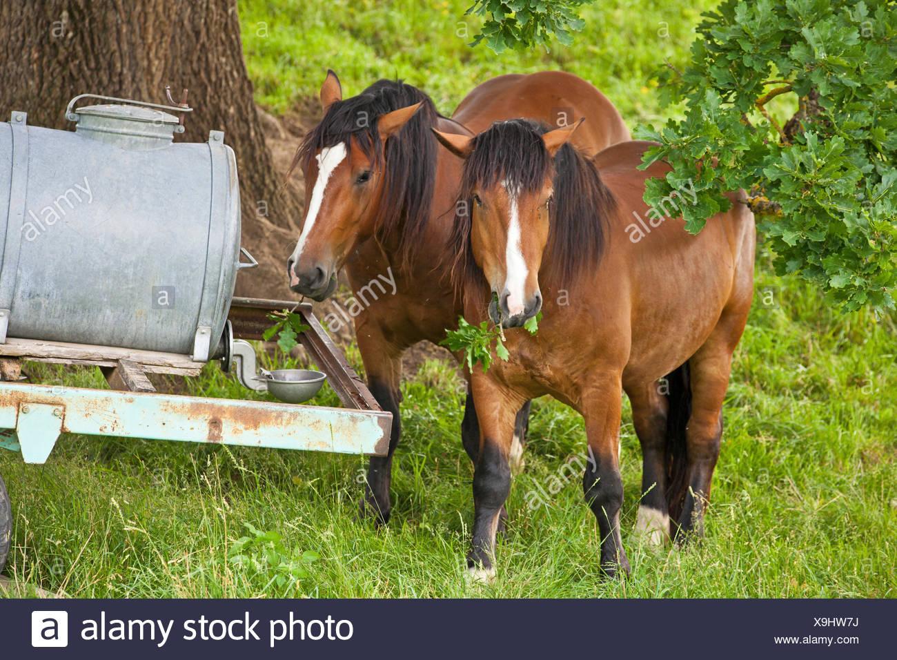 Cheval domestique (Equus caballus przewalskii f.), à un horsetrough se nourrit de feuilles de chêne, l'Allemagne, la Bavière Photo Stock