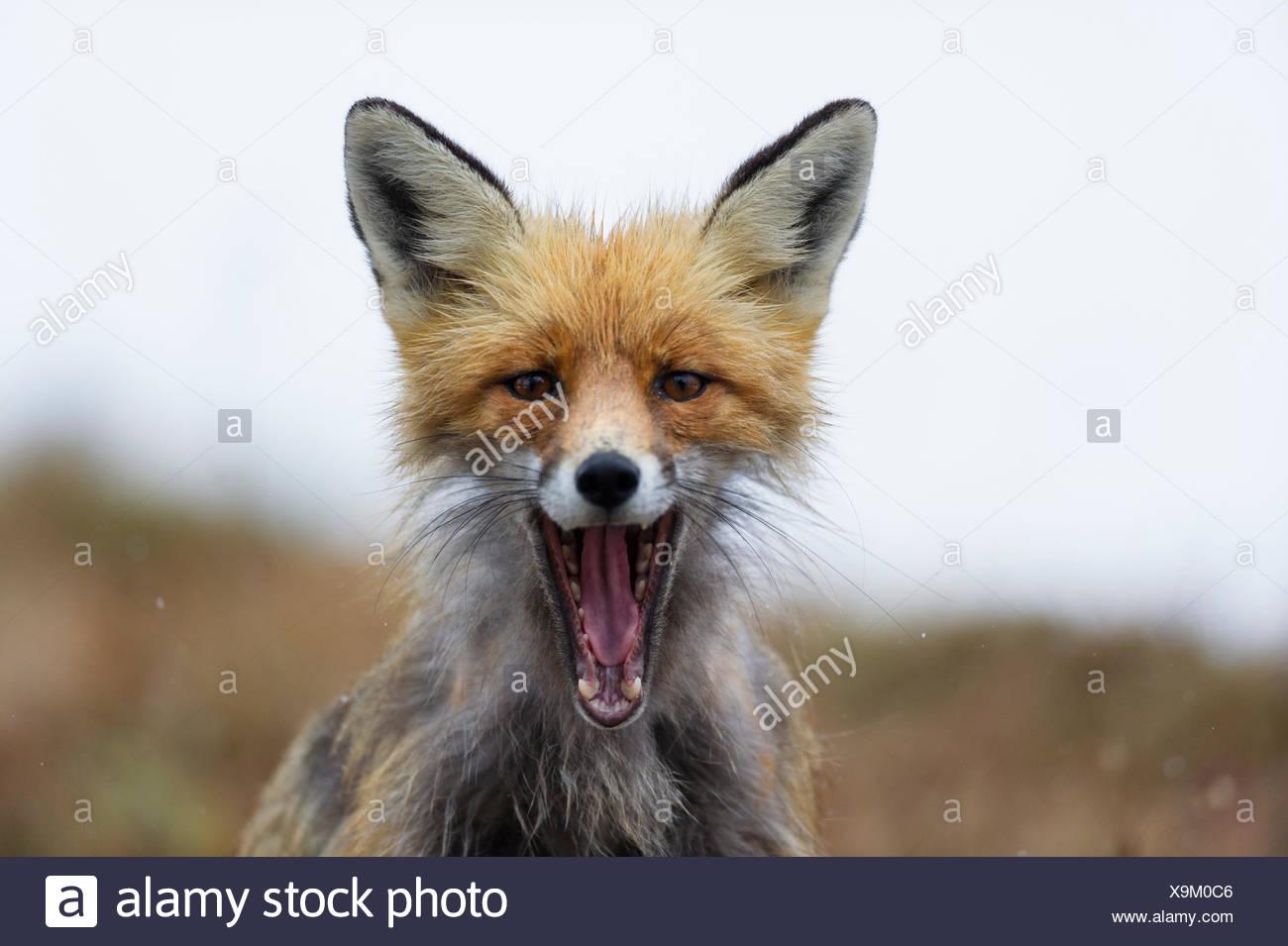 Portrait d'un renard roux, Vulpes vulpes, avec la bouche ouverte. Banque D'Images