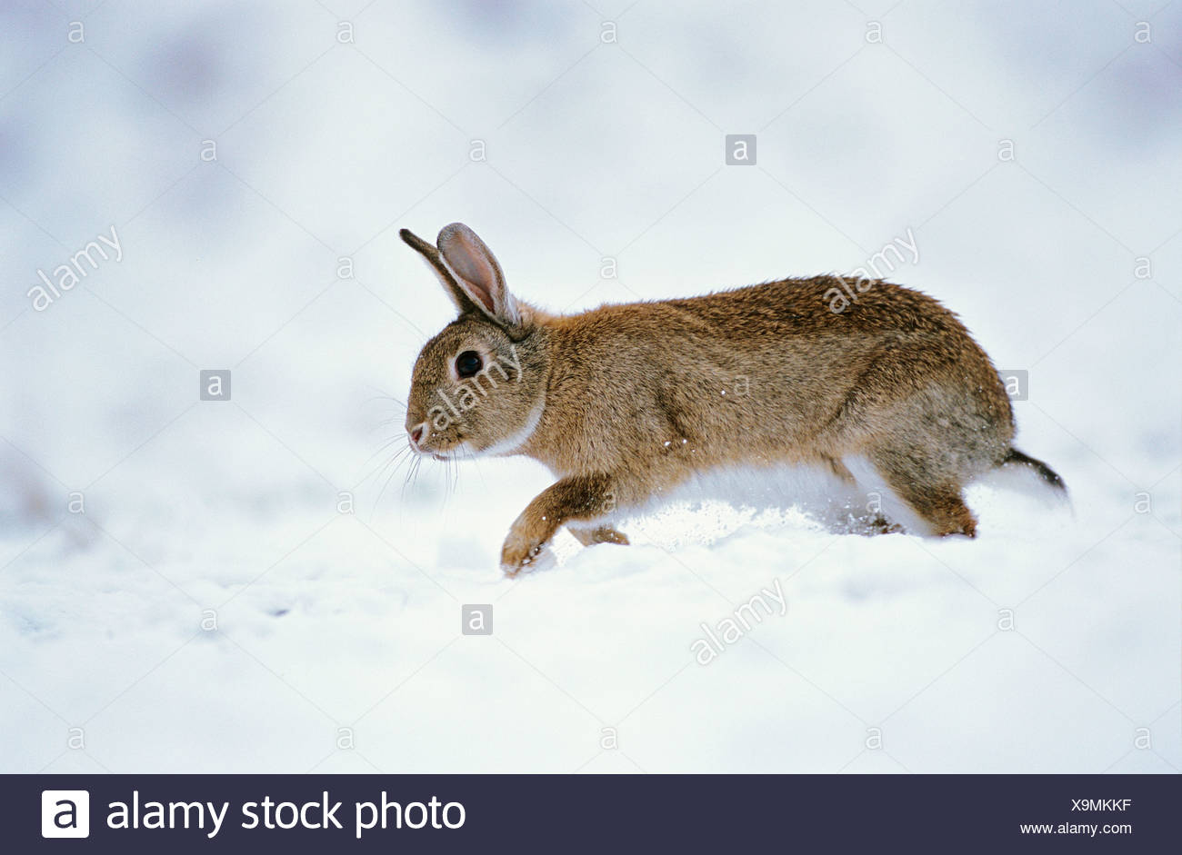 Europe Le Lapin (Oryctolagus cuniculus) walking in snow Photo Stock