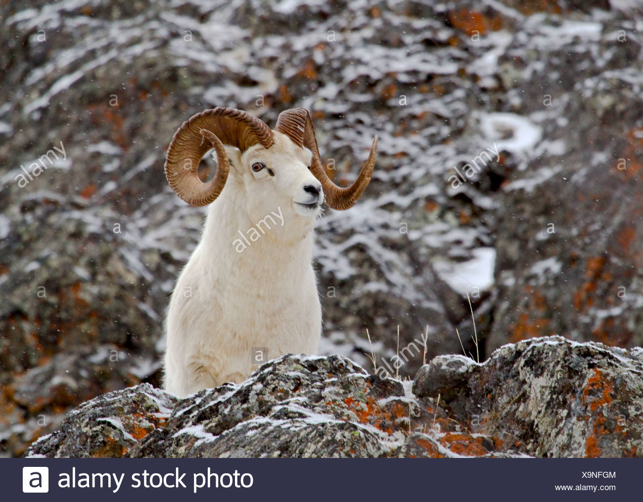 De l'Alaska. Dall (Orvis dalli) full curl ram dans les montagnes enneigées du parc d'état de Chugach Turnagain Arm,.. Photo Stock