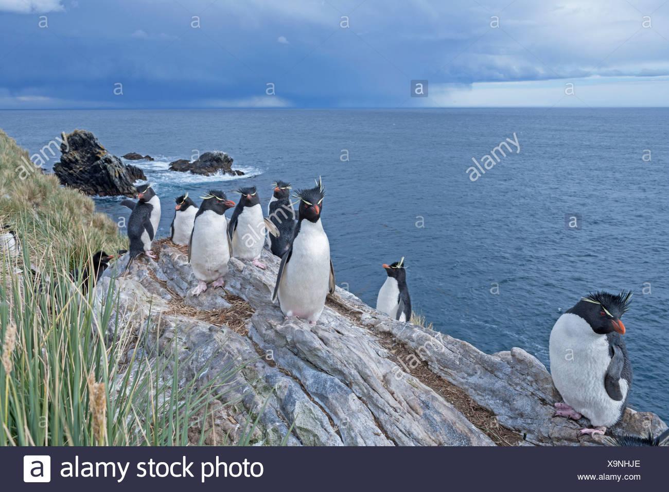 Groupe des gorfous sauteurs (Eudyptes chrysocome chrysocome), îles Falkland Photo Stock