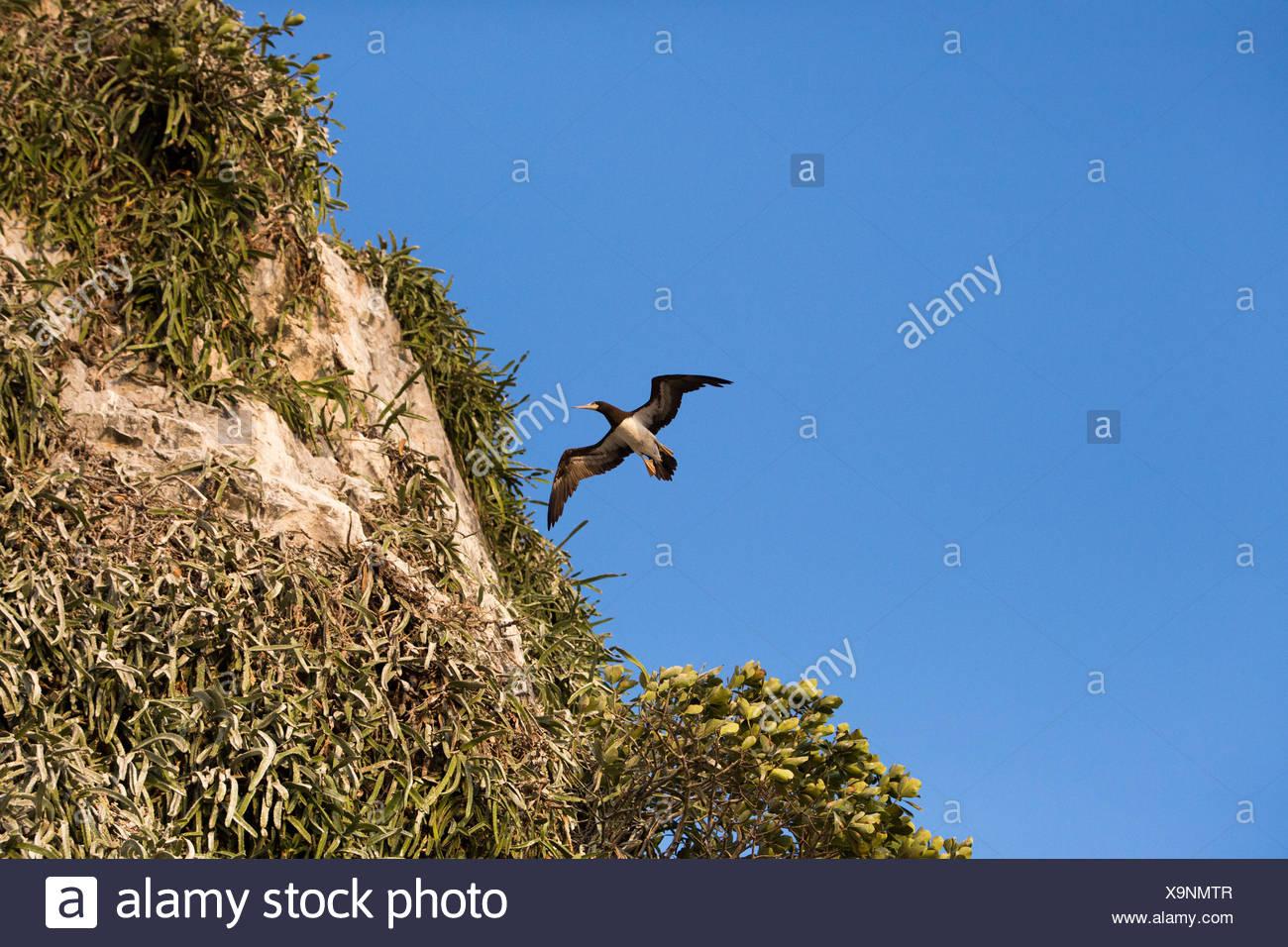 Un adulte brown boobie vole près d'une falaise abrupte de Bona Île dans le Golfe de Panama. Photo Stock