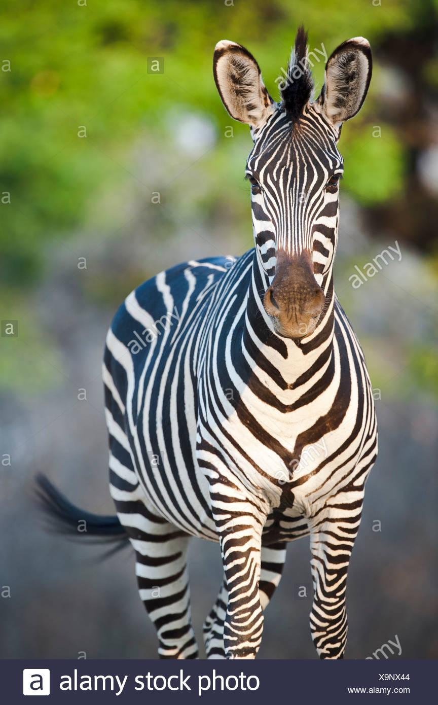Le zèbre de Crawshay - sous-espèce du zèbre des plaines. Sur les rives de la Rivière Luangwa. South Luangwa National Park, Zambie Photo Stock