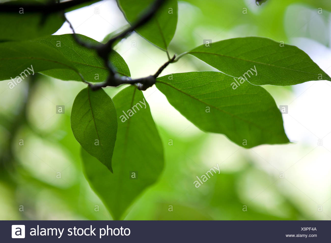 Close-up de feuilles sur un arbre Magnolia Photo Stock