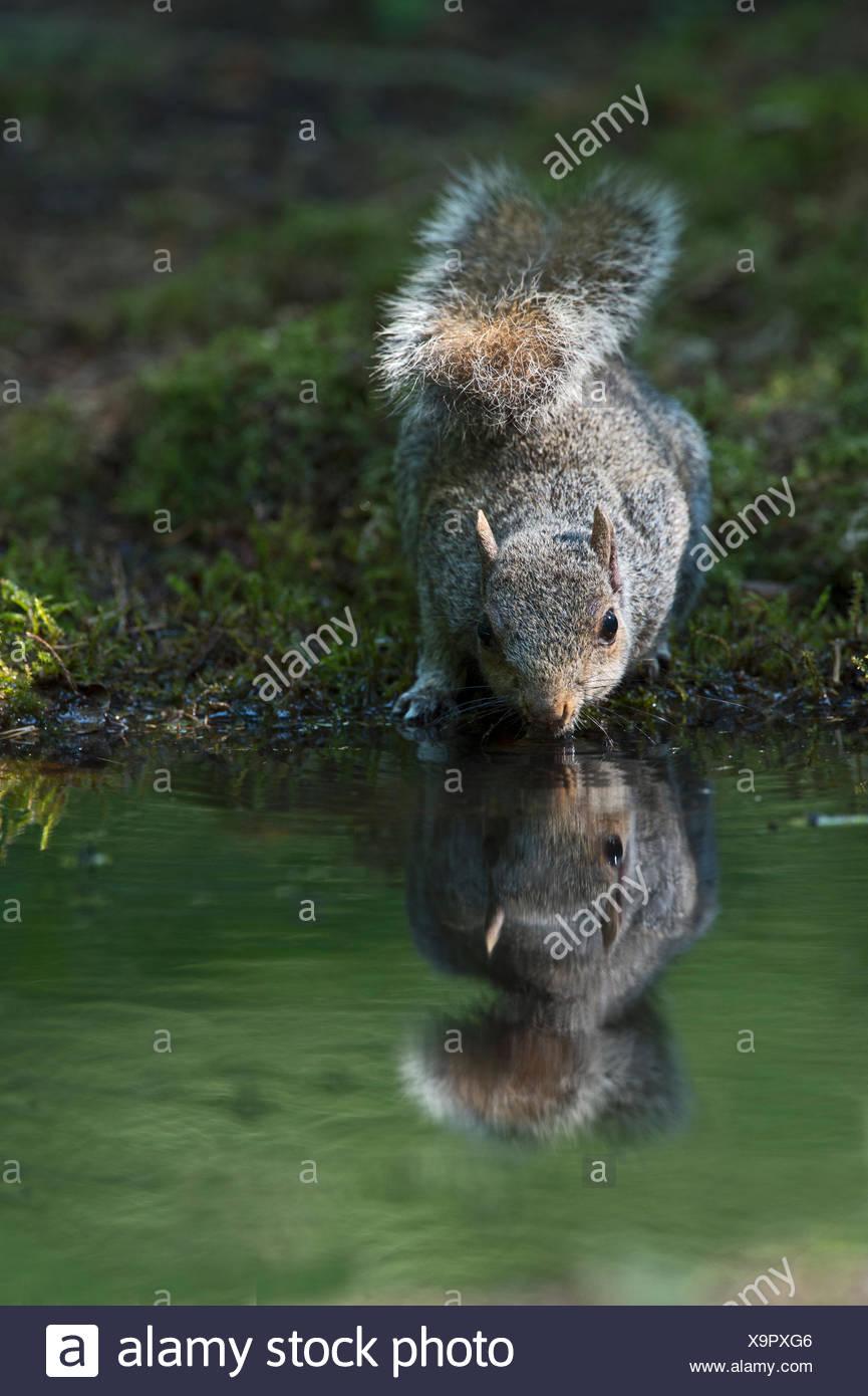 L'écureuil gris Sciurus carolinensis boire à Norfolk UK été piscine bois Photo Stock