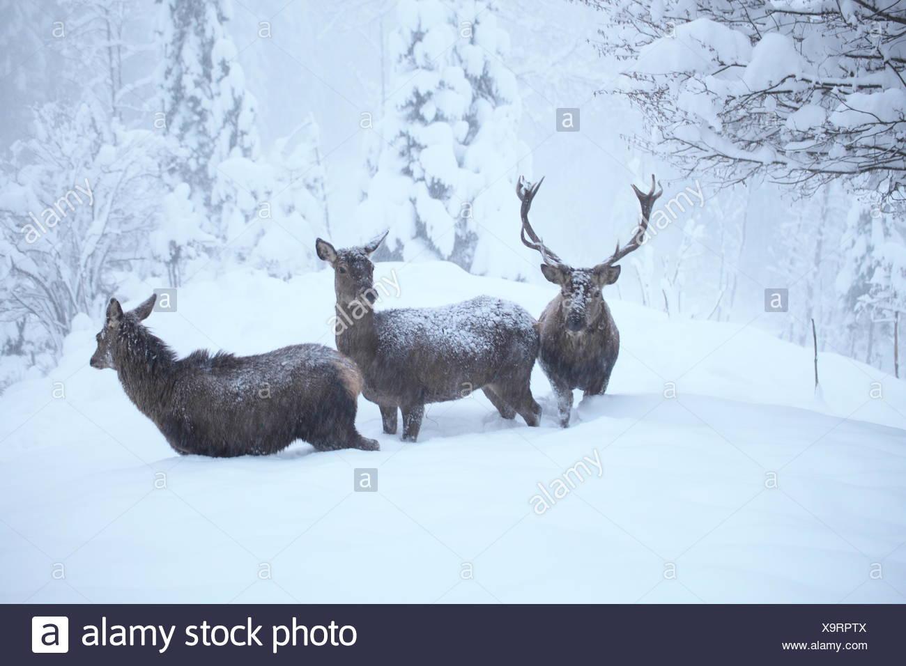 trois cerfs Banque D'Images