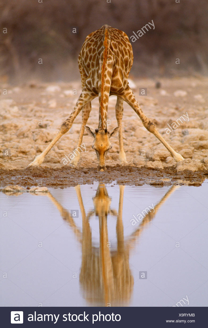 Girafe d'Afrique du Sud, Etosha National Park, Namibie Photo Stock
