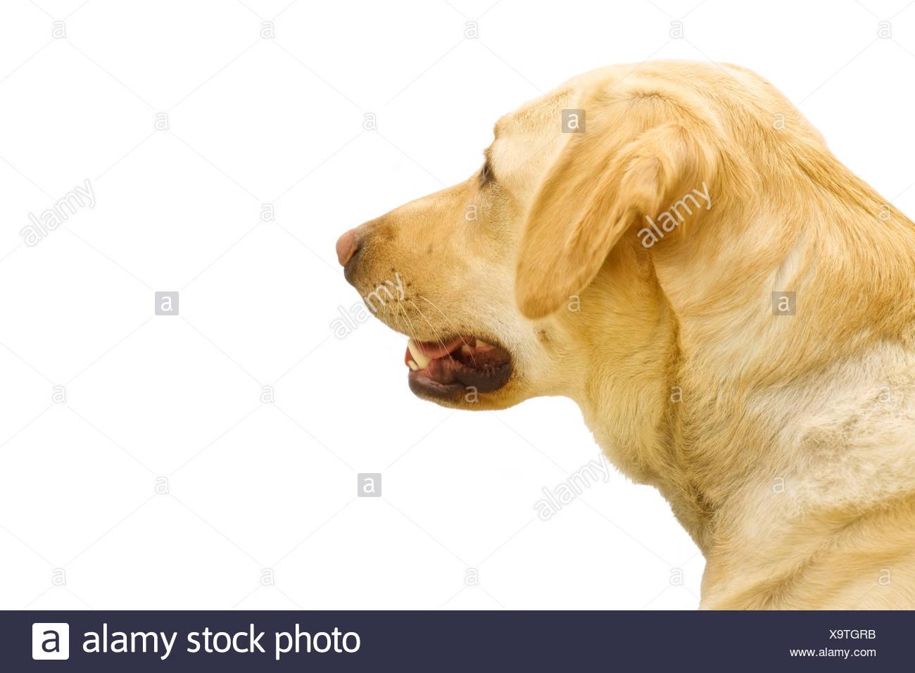 Un Golden Labrador Photo Stock