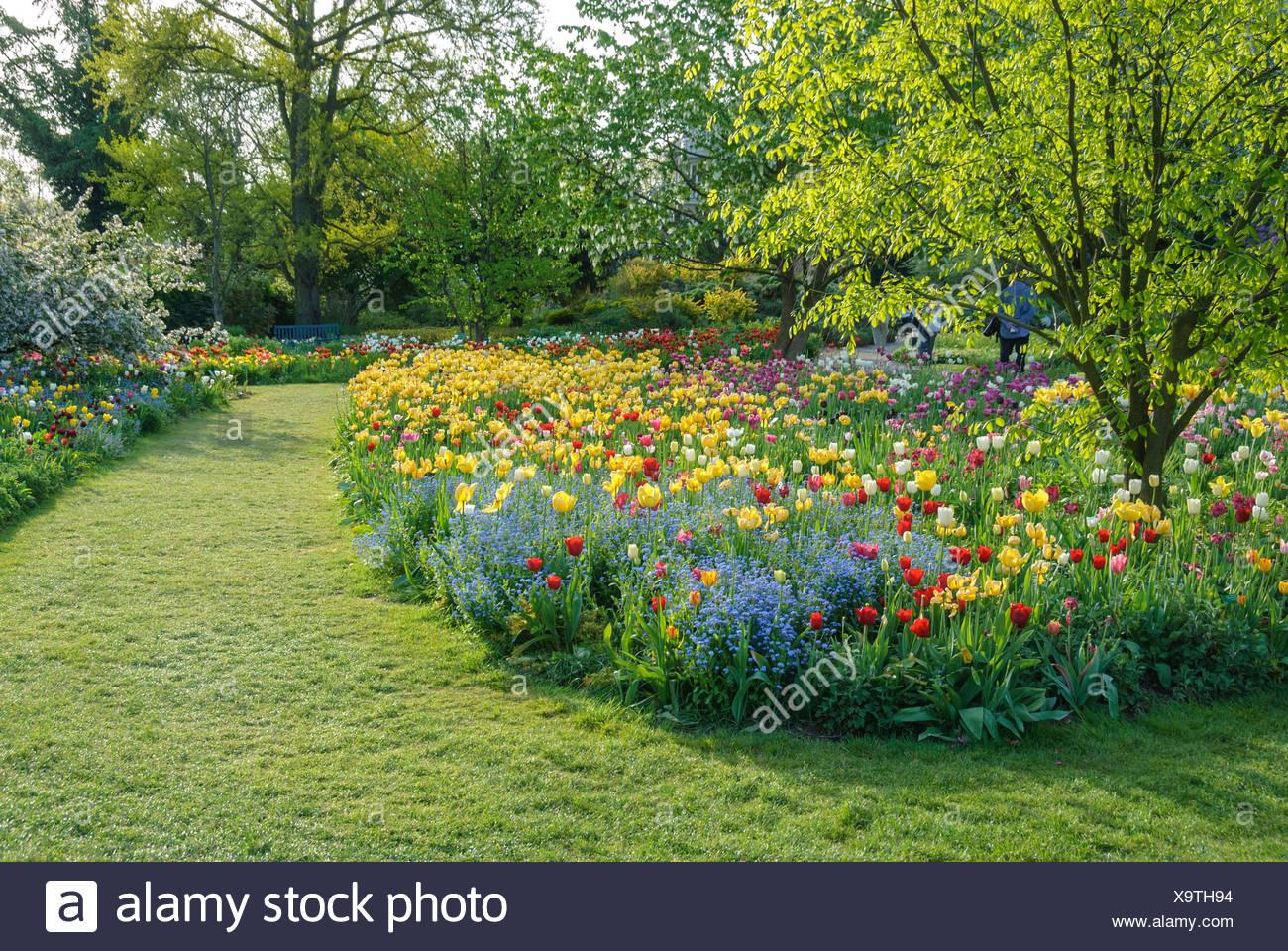 Bois jaune (Cladrastis lutea), dans un lit de tulipes Photo Stock