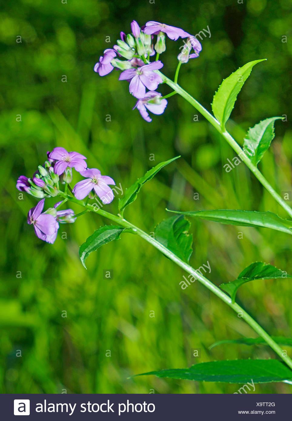 La dame-fusée, dame de la violette, roquette, Dame's rocket (Hesperis matronalis), blooming, Allemagne, Bavière, Oberbayern, Haute-Bavière, Murnauer Moos Photo Stock