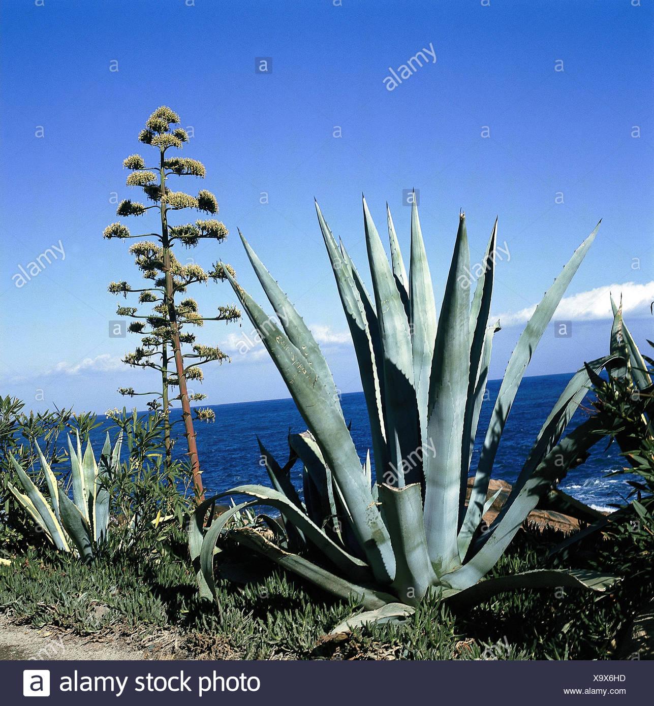 Mer Cote Agaves Fleurs Region Cotiere La Vegetation La Nature