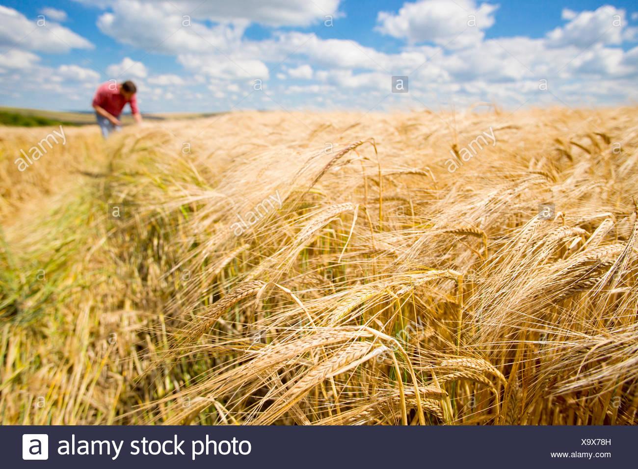 Champ d'orge rural ensoleillée en été avec le fermier en arrière-plan Photo Stock