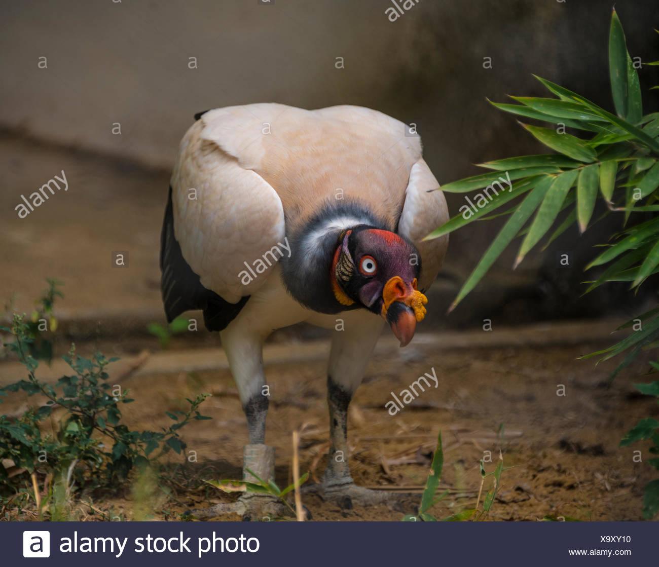 Vautour pape (Sarcoramphus papa), répandue en Amérique du Sud Photo Stock