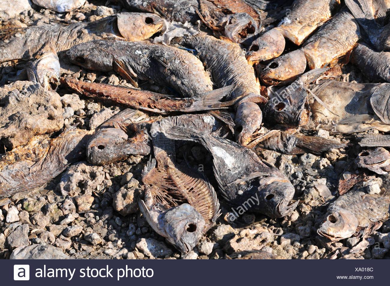 La décomposition des morts dans un poisson séché extérieure montrant l'effet de la sécheresse sur l'environnement Photo Stock
